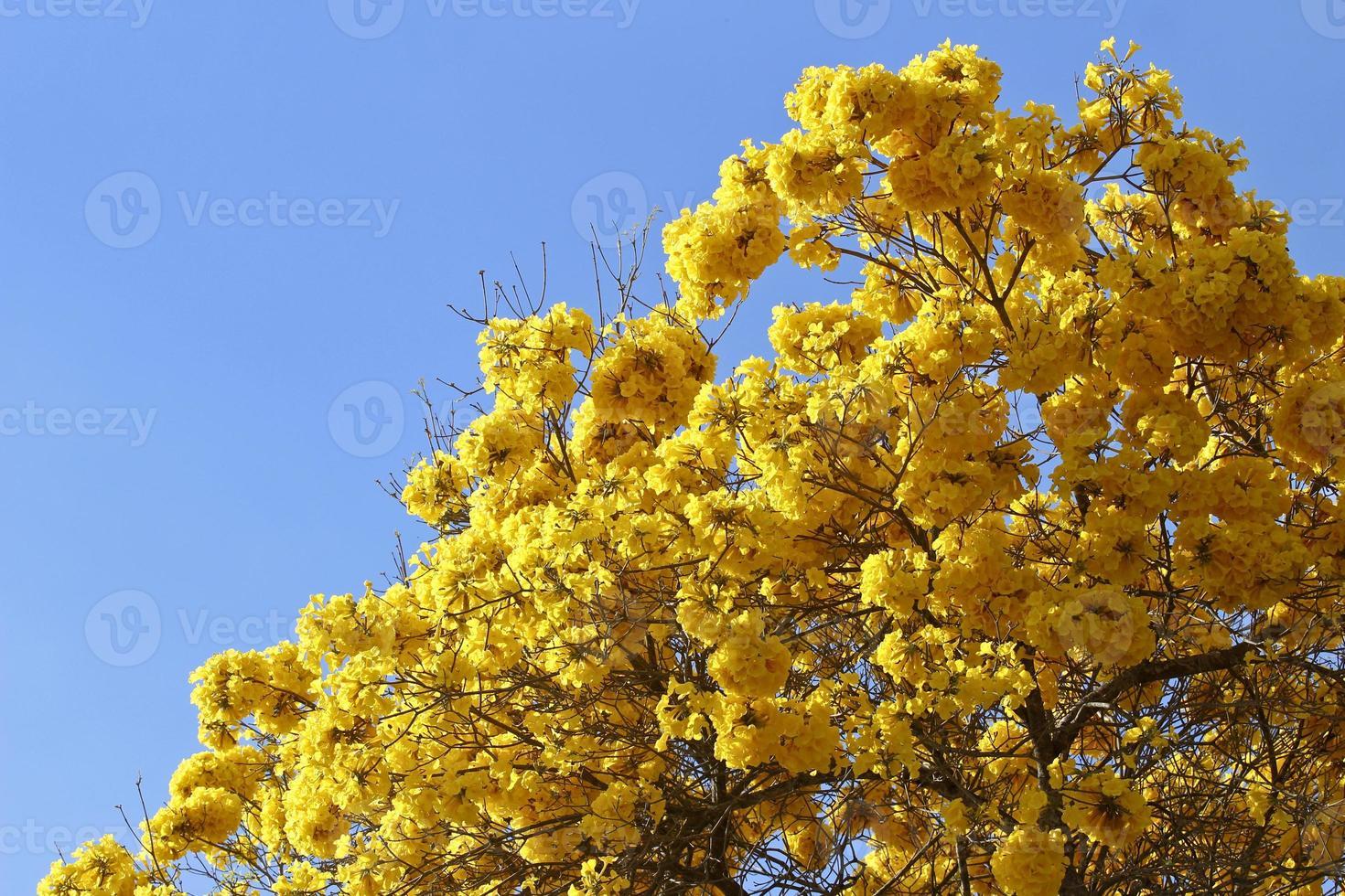 Blüte Detail gelbe Ipe mit blauem Himmel foto