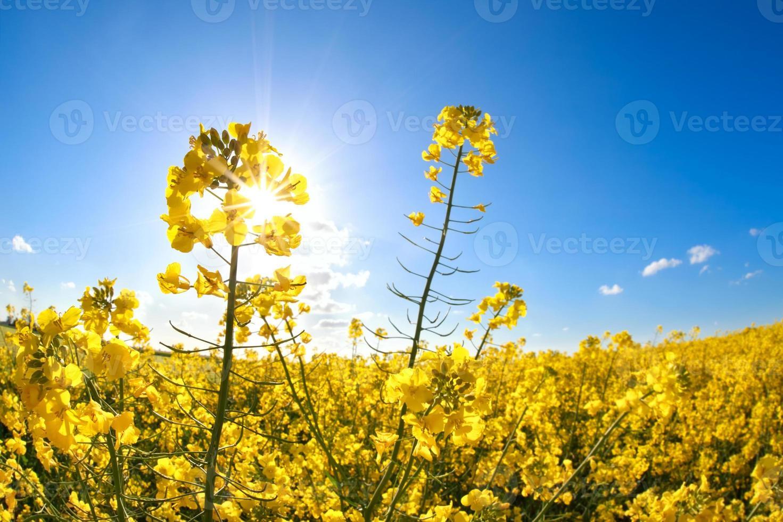Rapsblüten über blauem Himmel und Sonnenschein foto