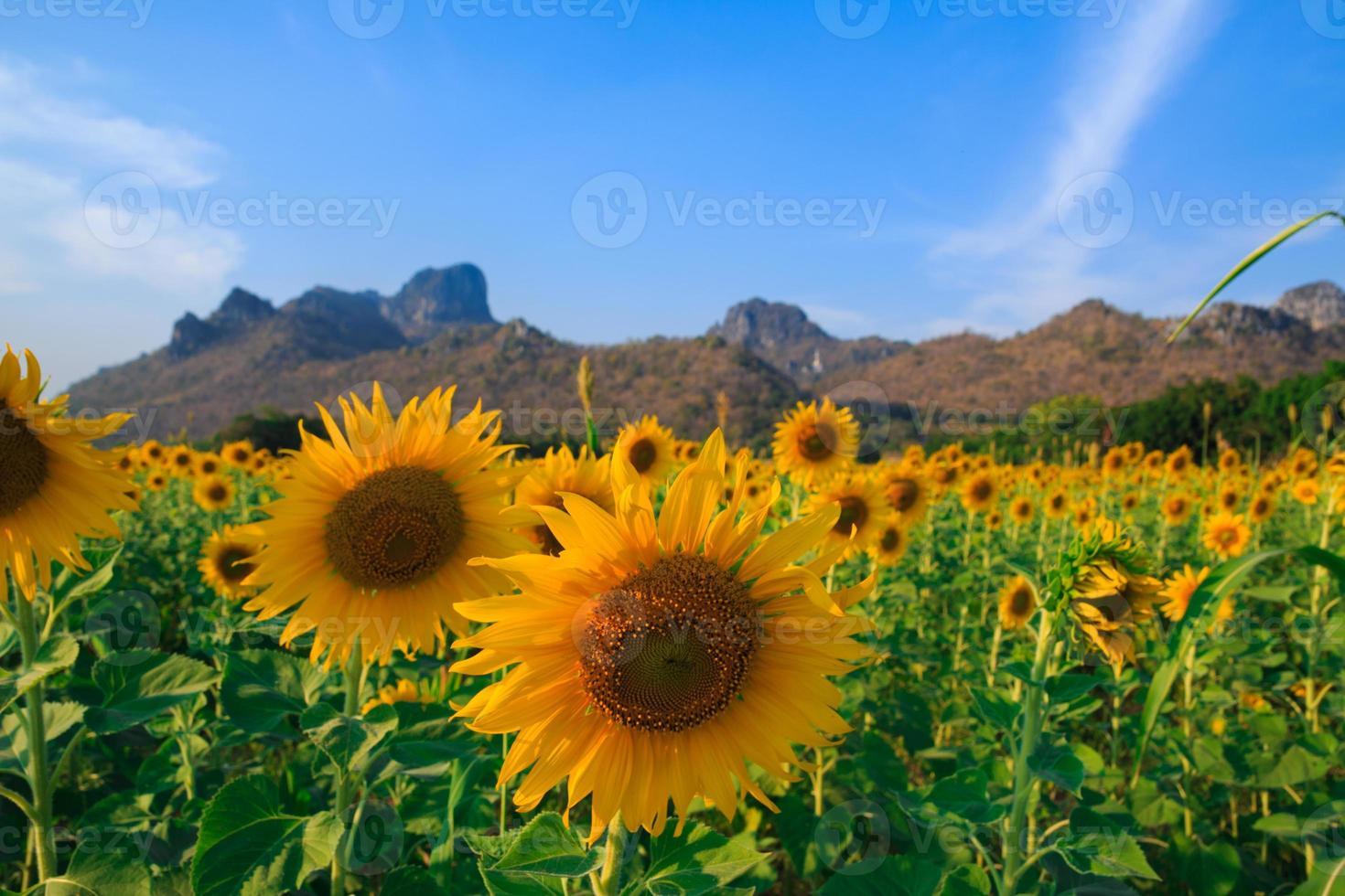 Feld der blühenden Sonnenblumen auf blauem Himmelhintergrund foto