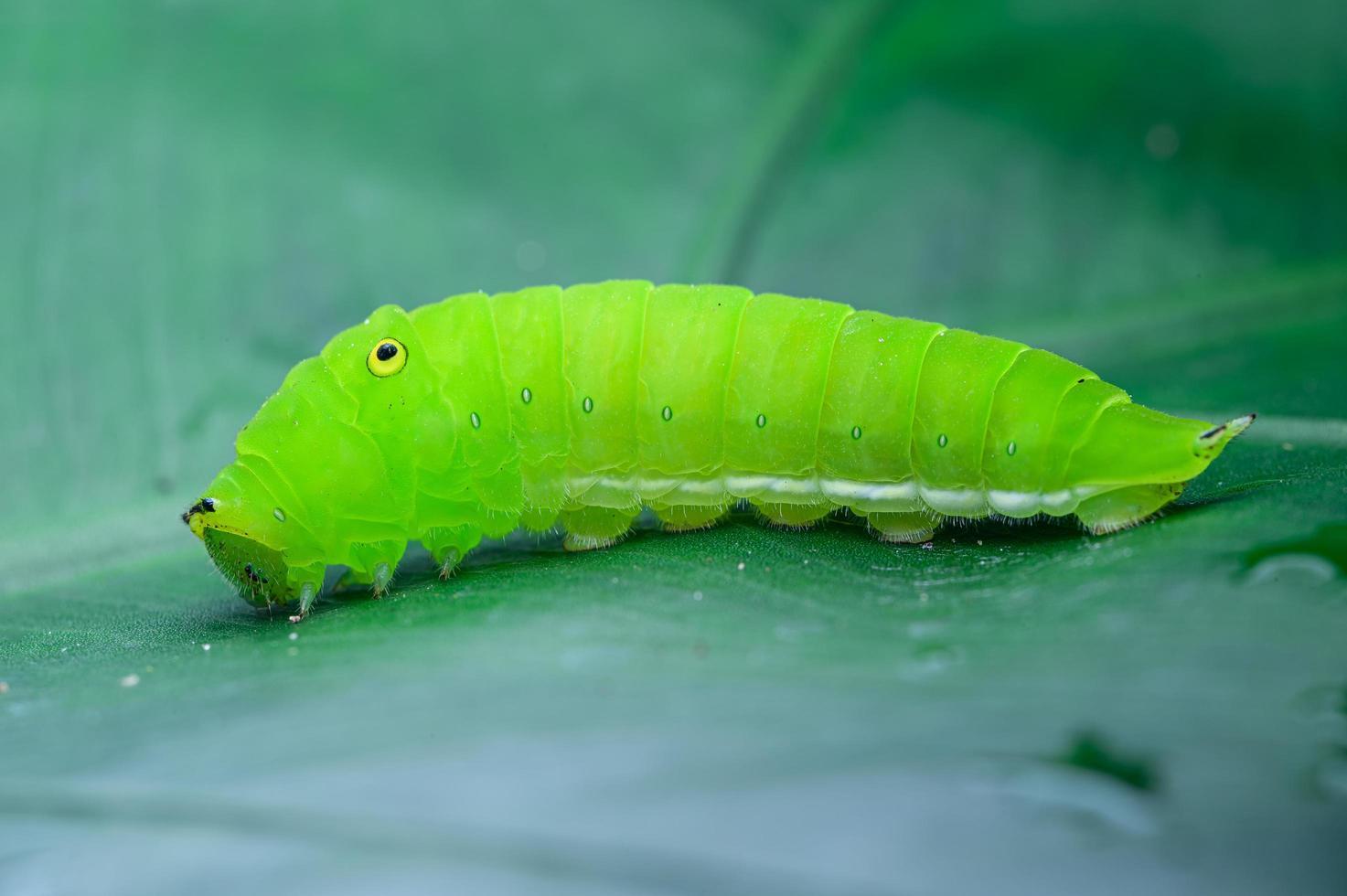 grüne Raupe auf dem Blatt foto