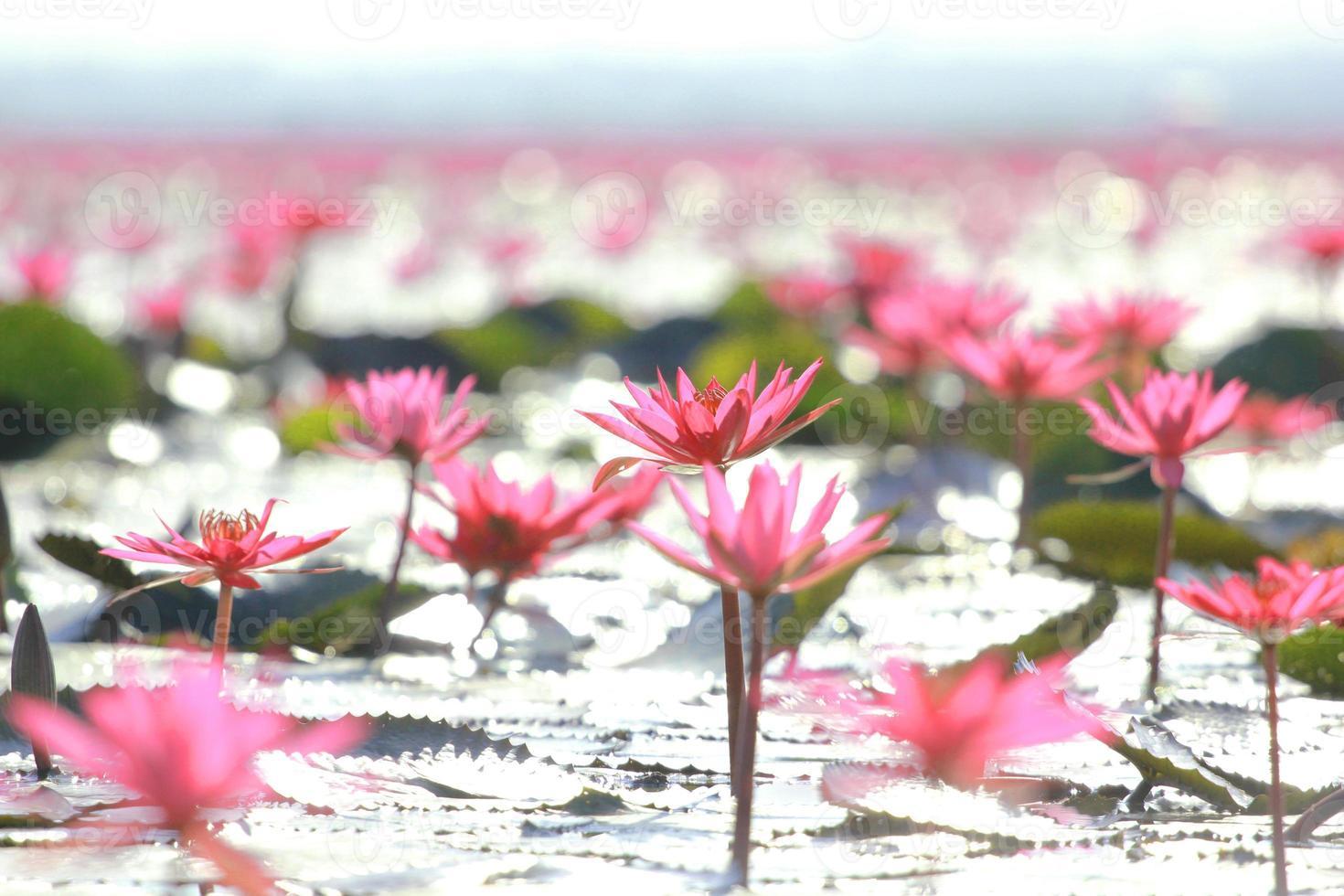 lila Lotusblume auf Wasser foto