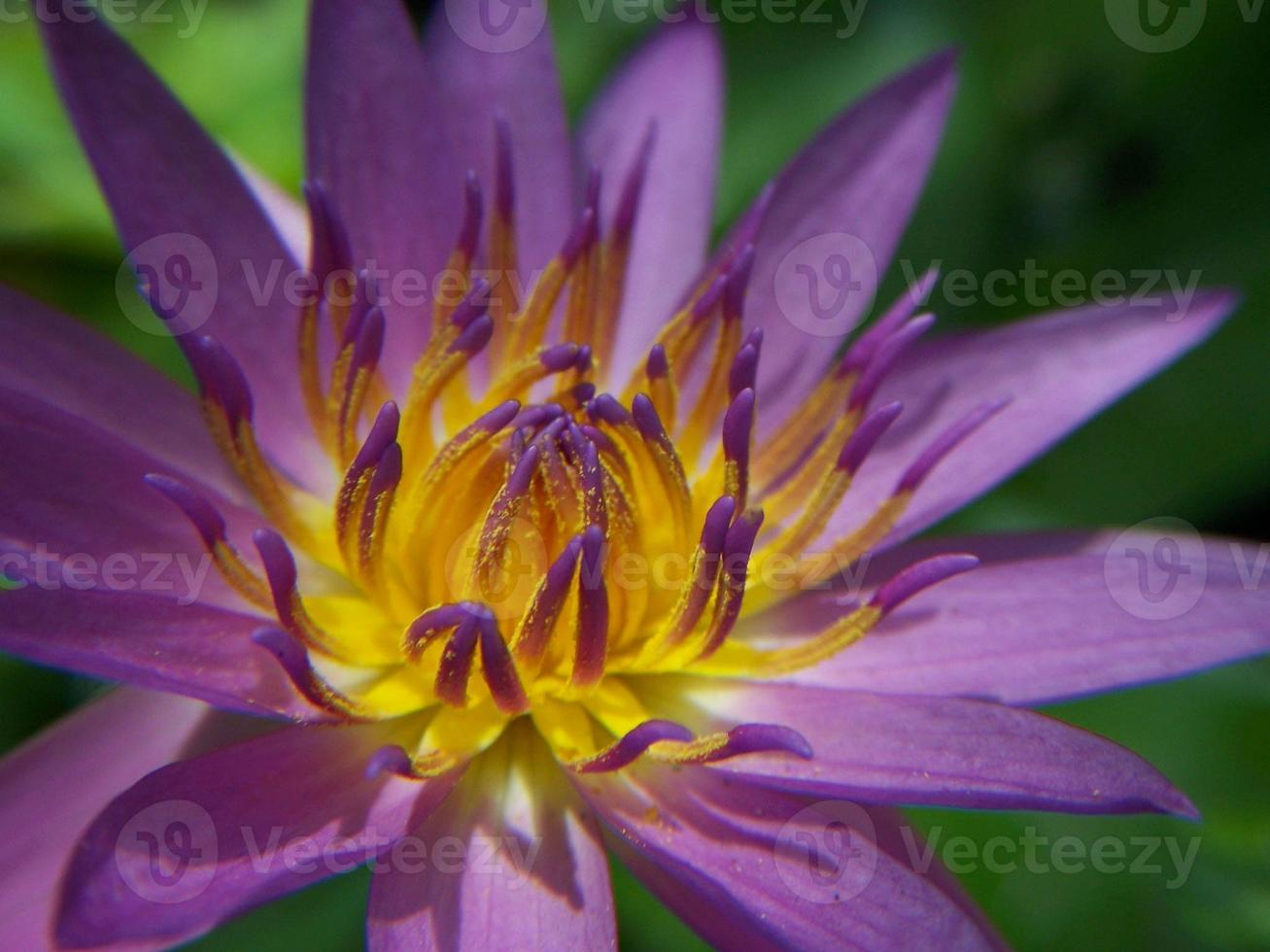 das Herz des Lotus foto
