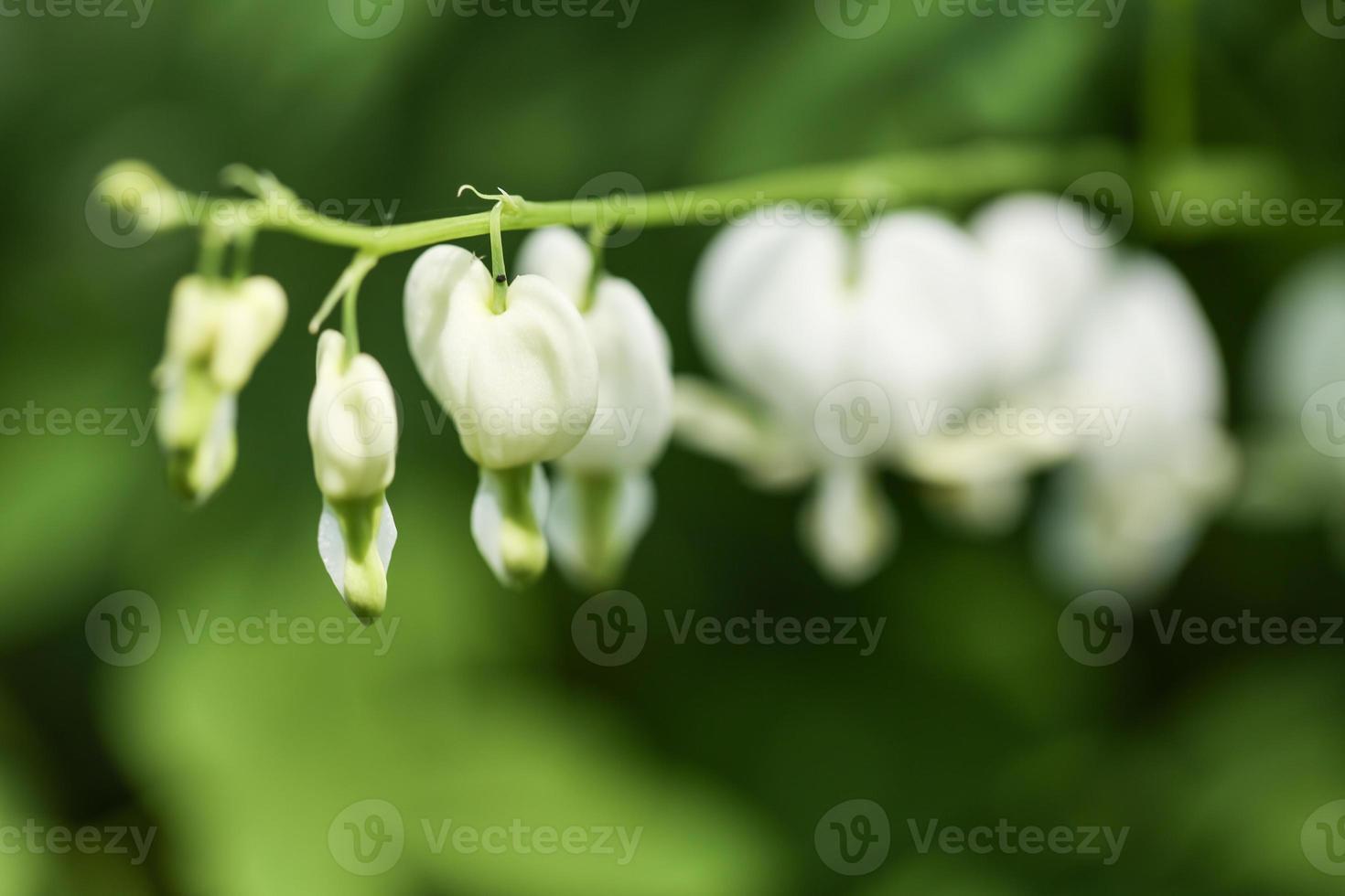weiße blutende Herzen in meinem Garten foto