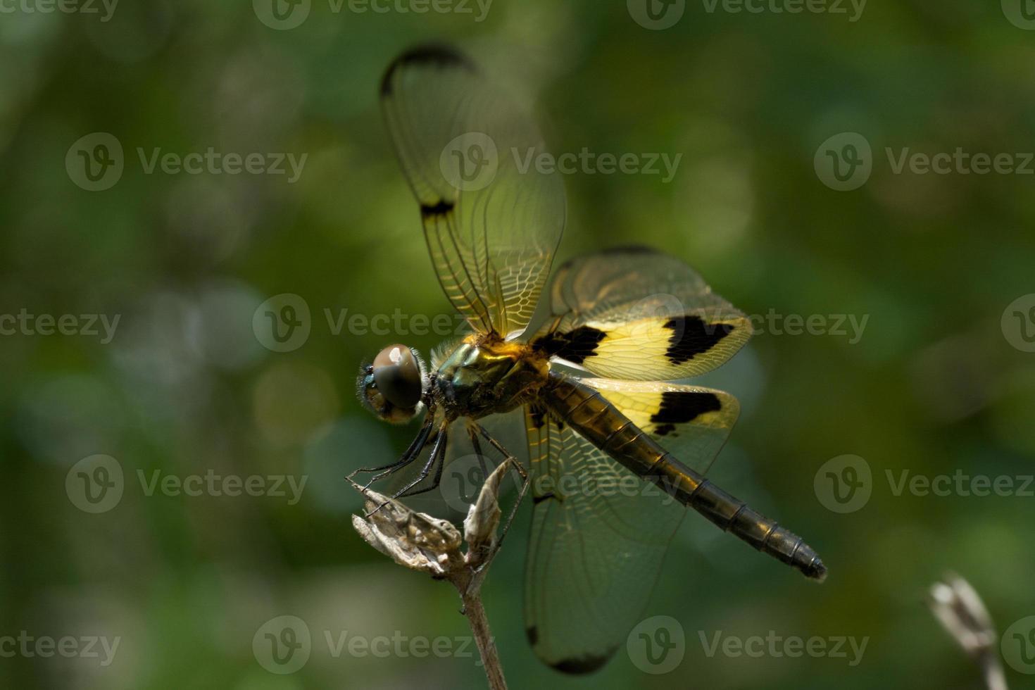 Libelle foto