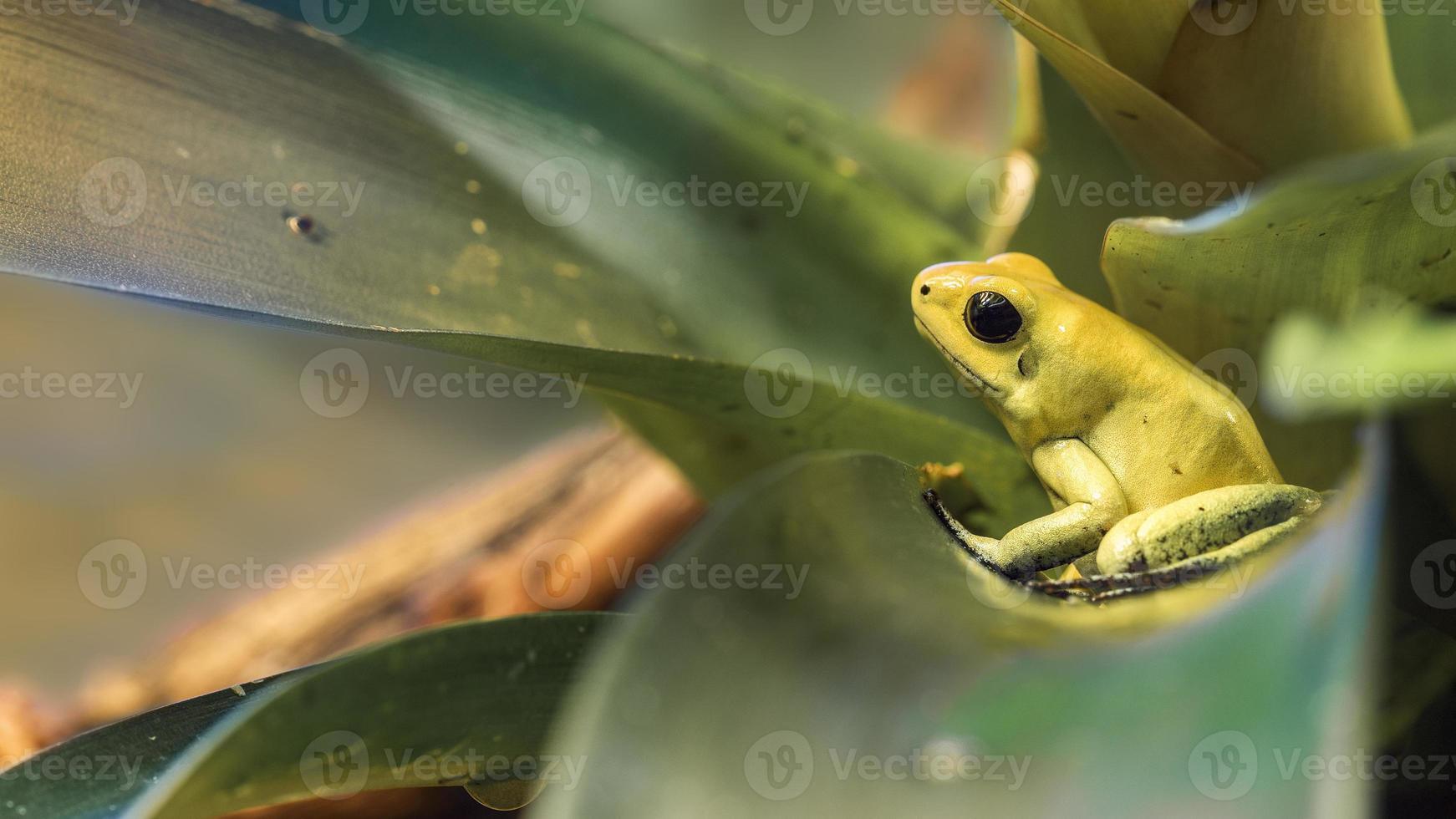 goldener Pfeil Frosch foto