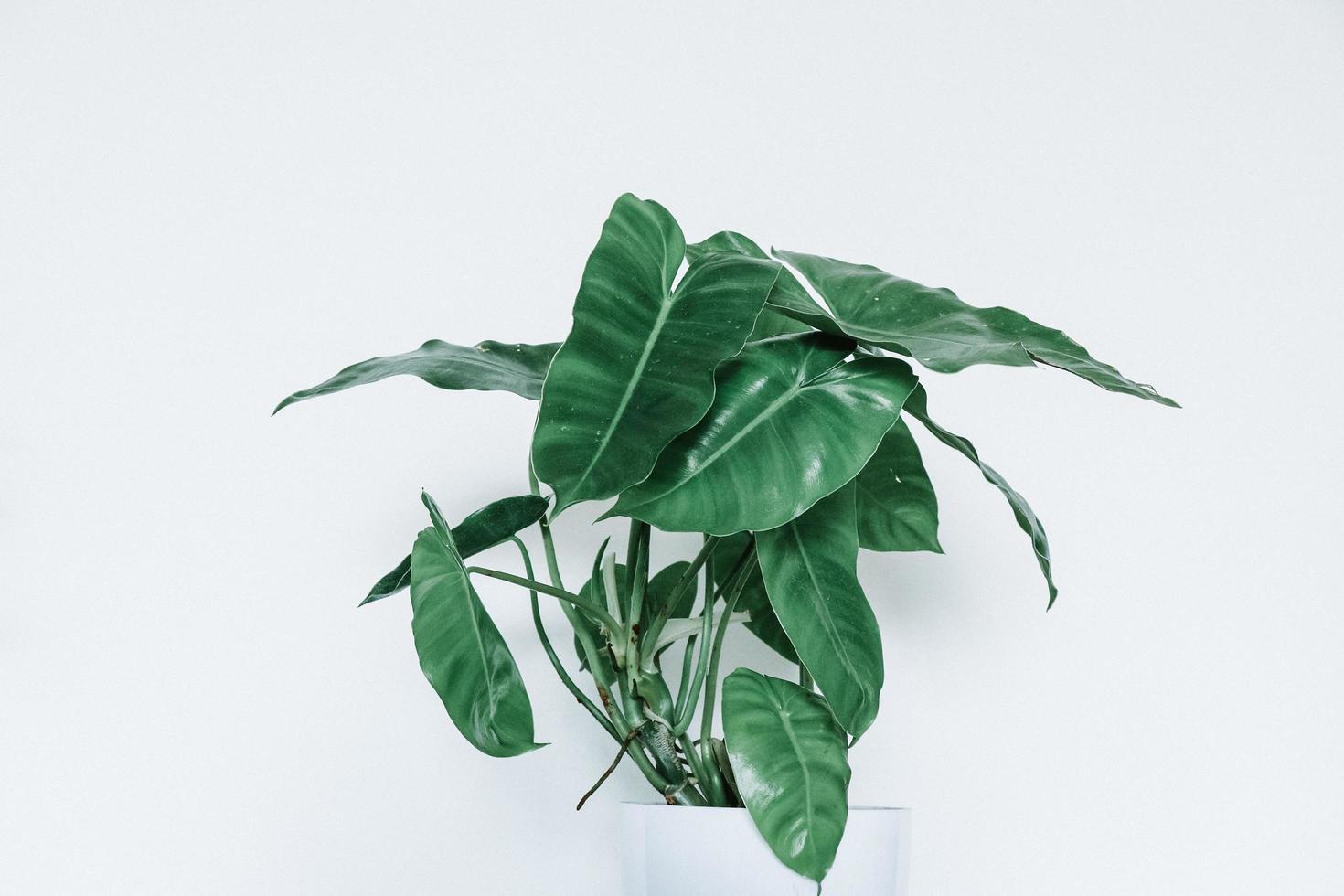 Philodendron Burle Marx foto
