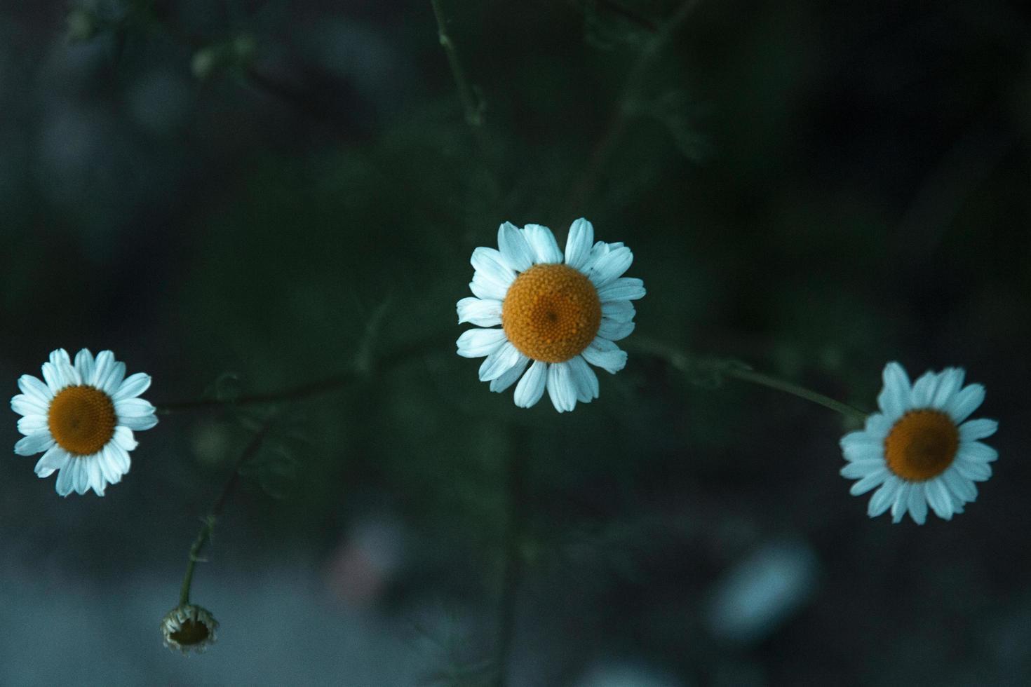 drei blühende Gänseblümchen foto