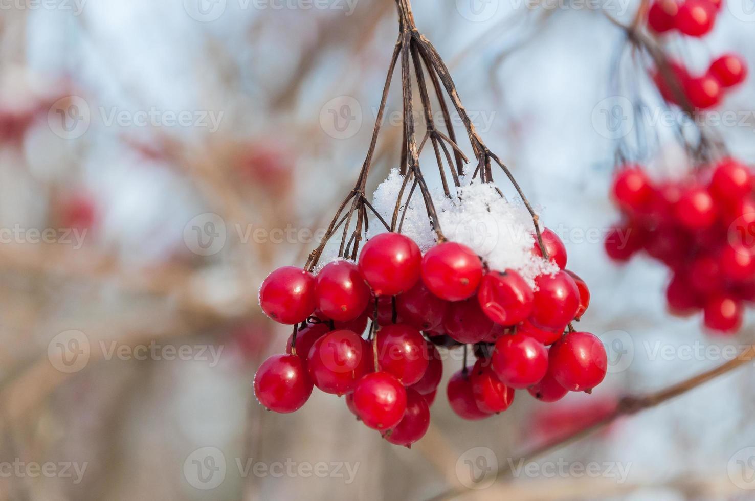 rote Beeren einer mit Schnee bedeckten Guelder-Rose foto