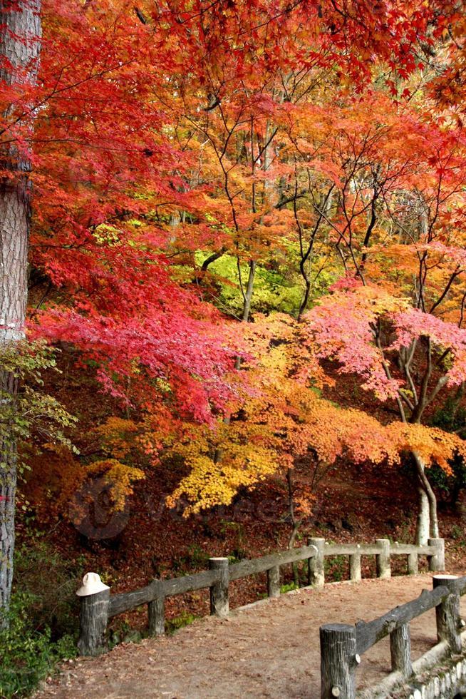 viele farbige Herbstblätter in Japan foto