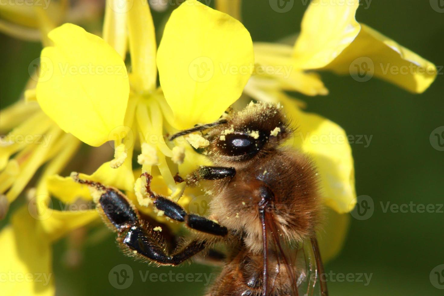 Biene auf gelber Blume foto