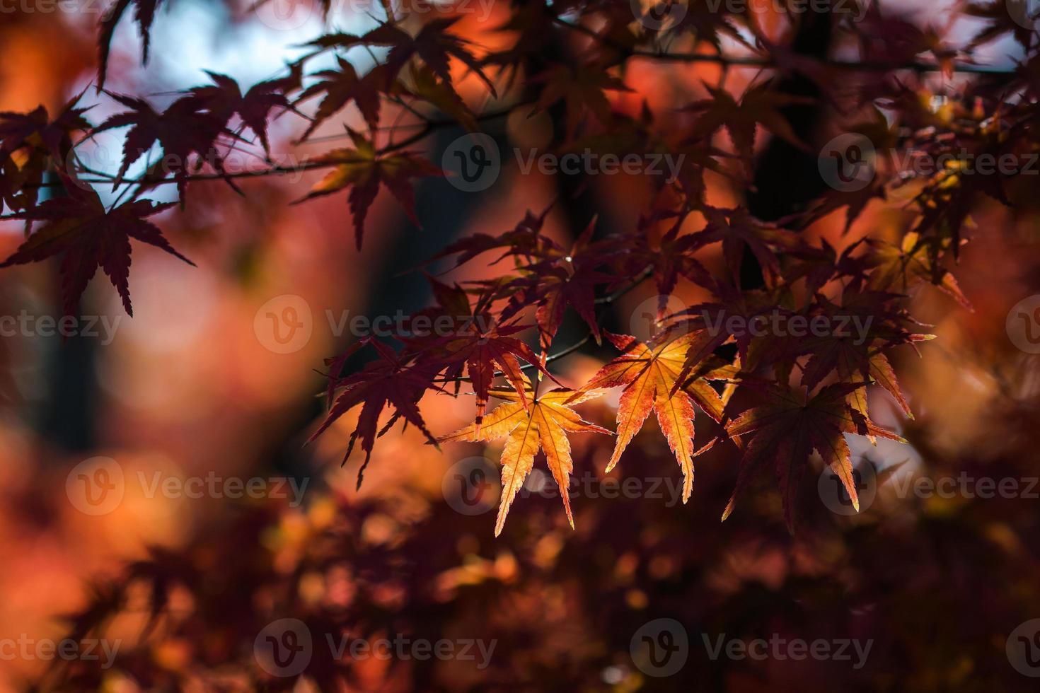 rote Ahornblätter in kyoto6 foto