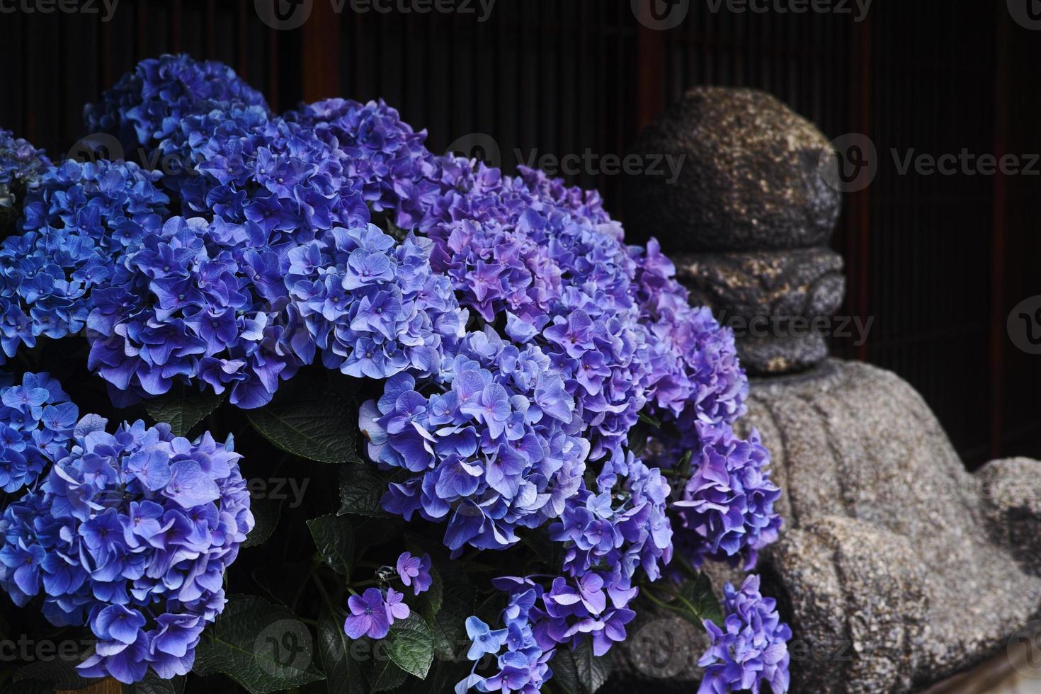 Regenzeit Blumen - Hortensie foto