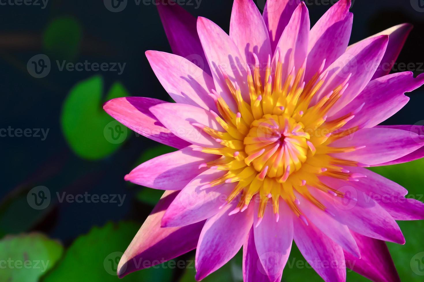 schöner Lotus foto