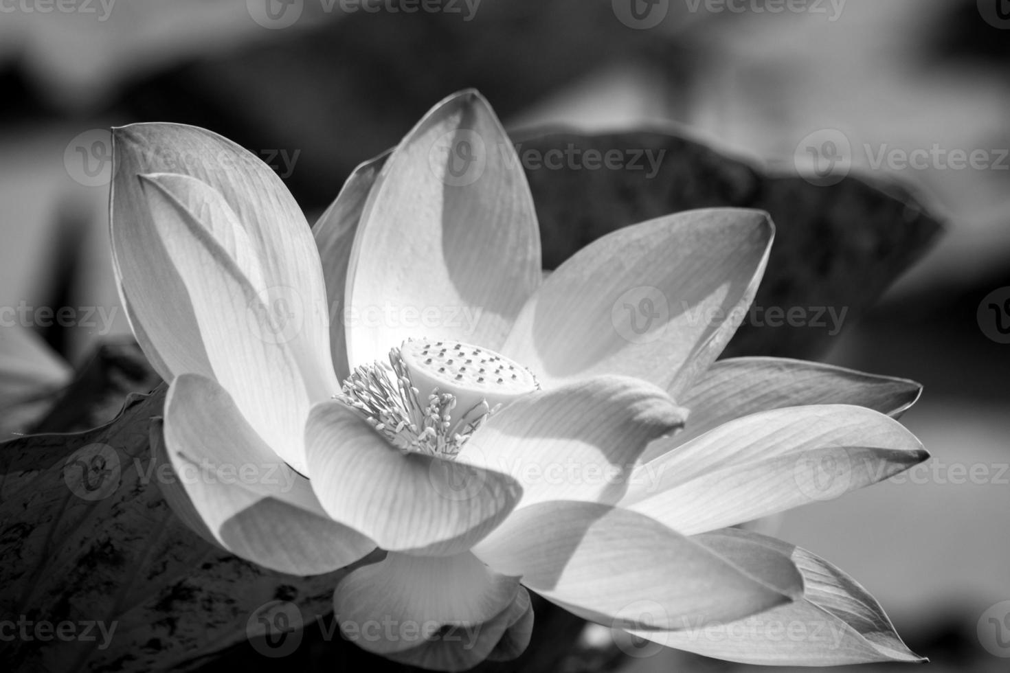Blütenlotus foto