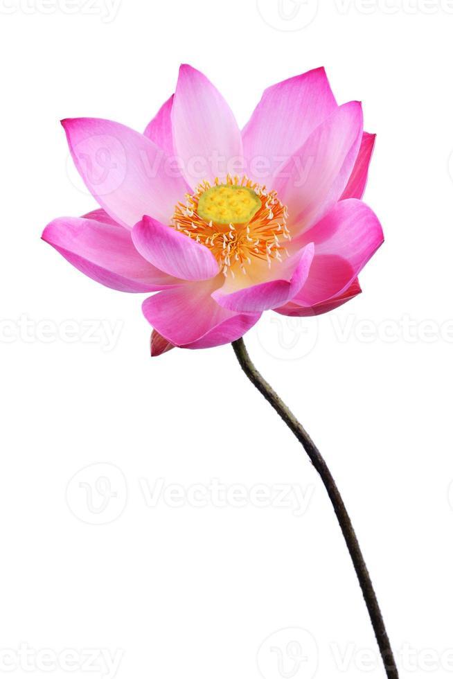 Lotusblume lokalisiert auf weißem Hintergrund foto