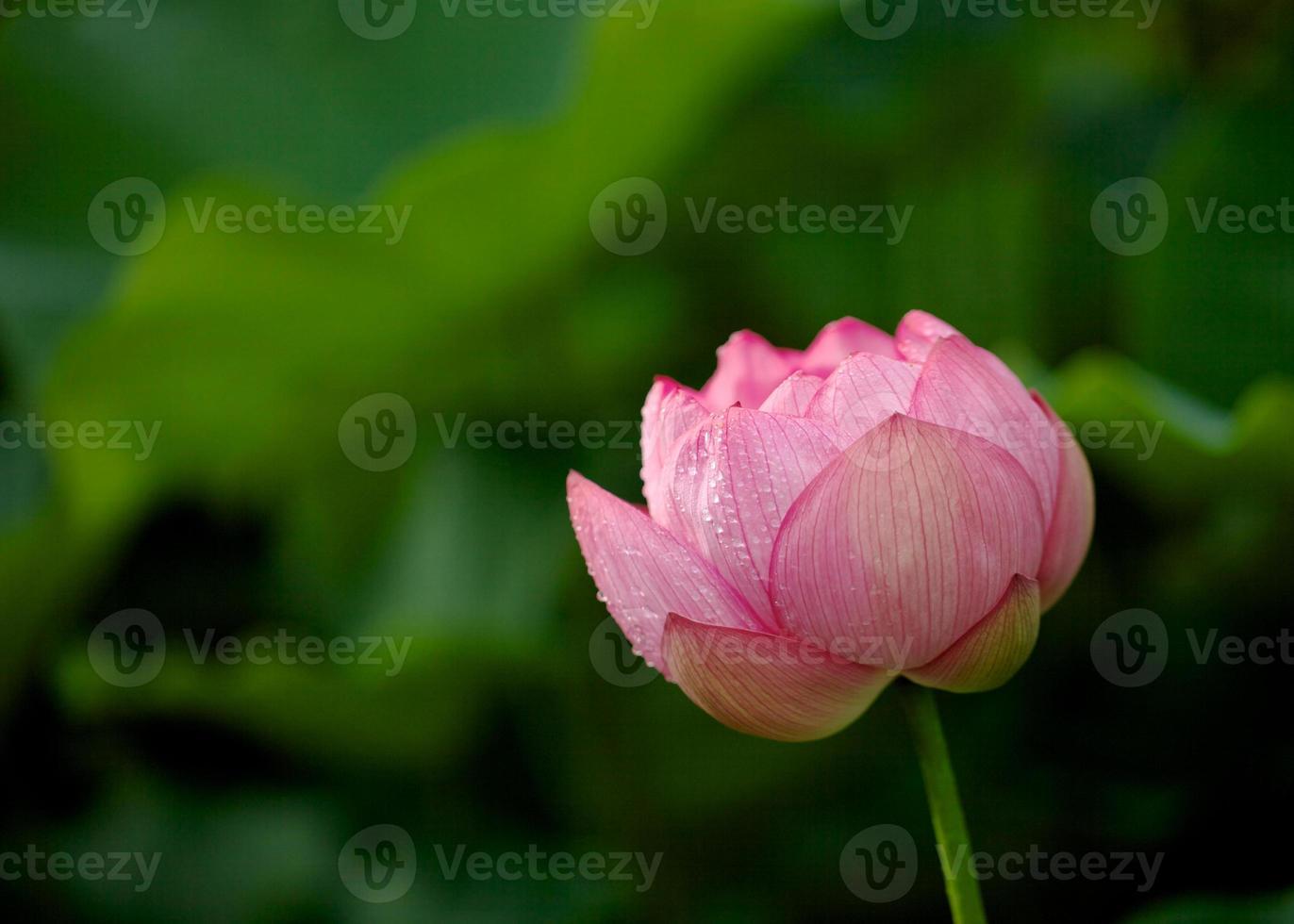 rosa Lotusknospe foto