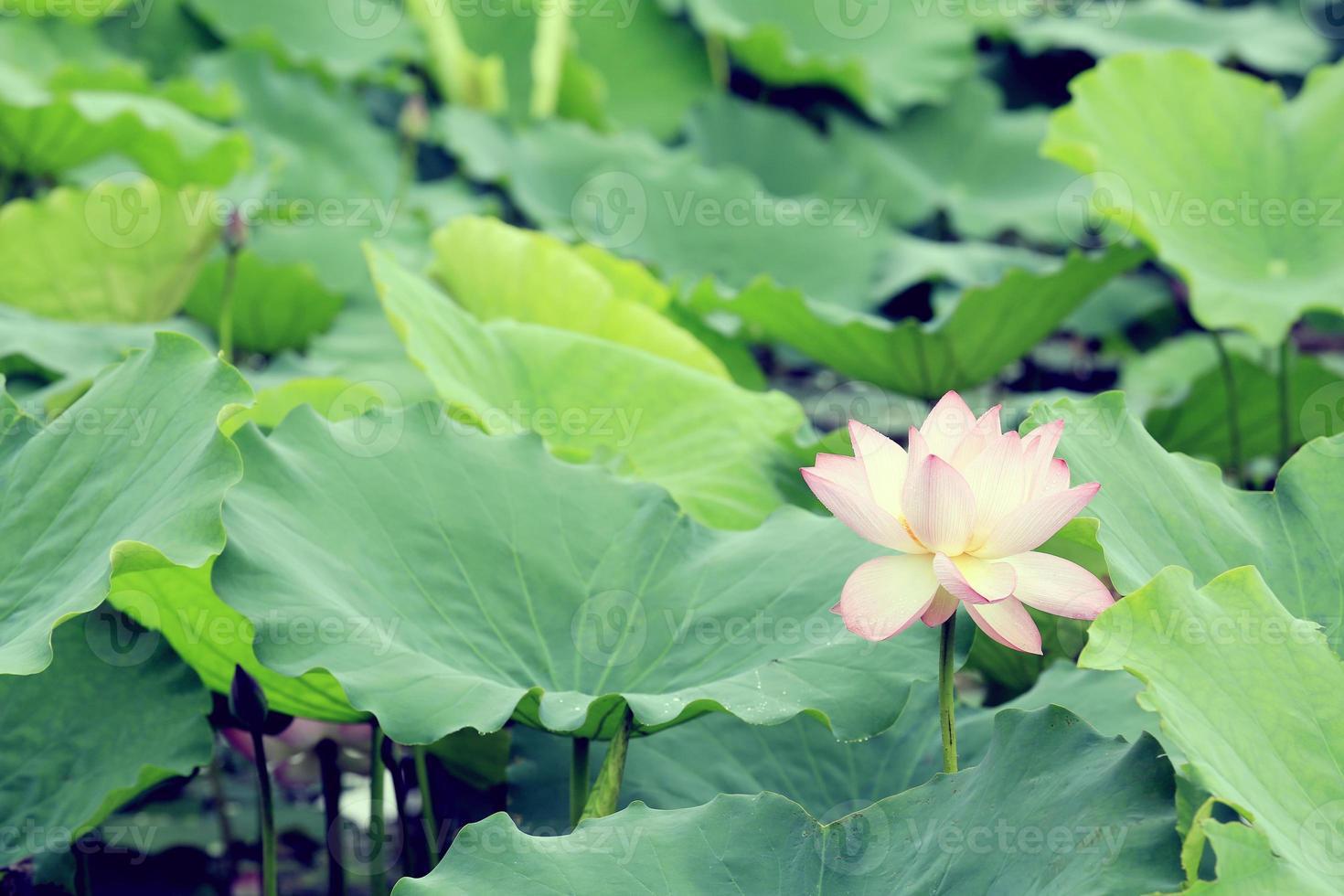 schöne Lotusblumen, die am Teich blühen foto