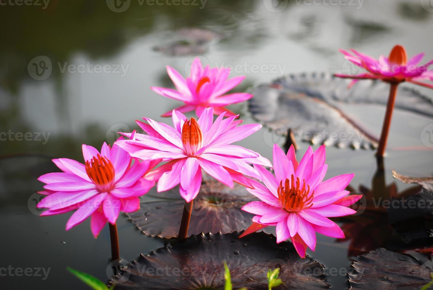 Lotus foto