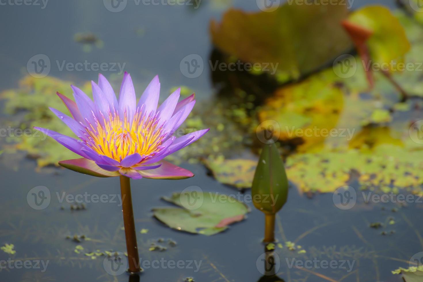 lila Lotus im Sumpf foto