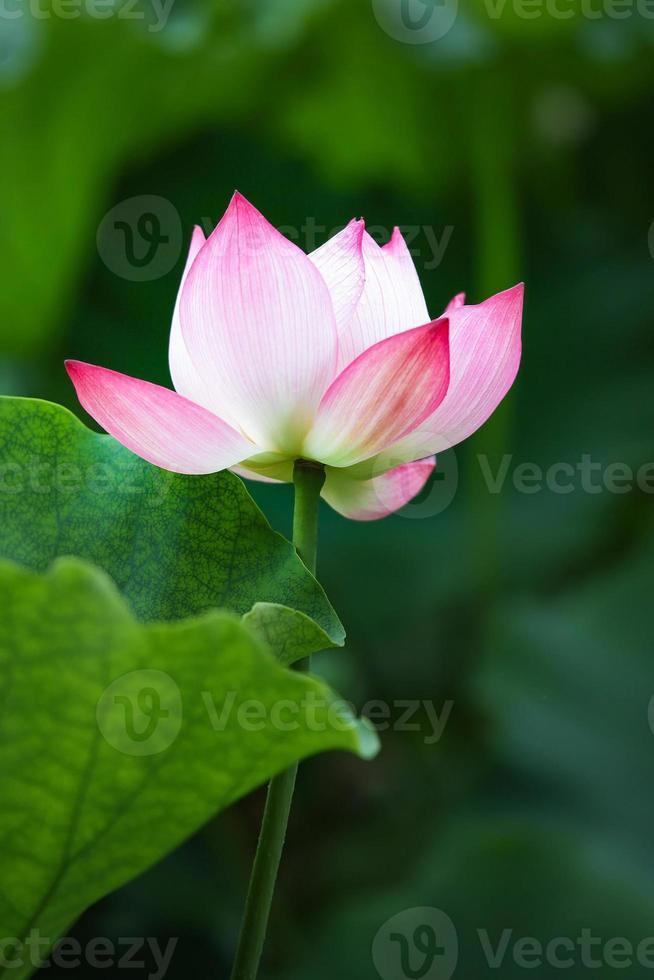 frischer Lotus im Teich foto