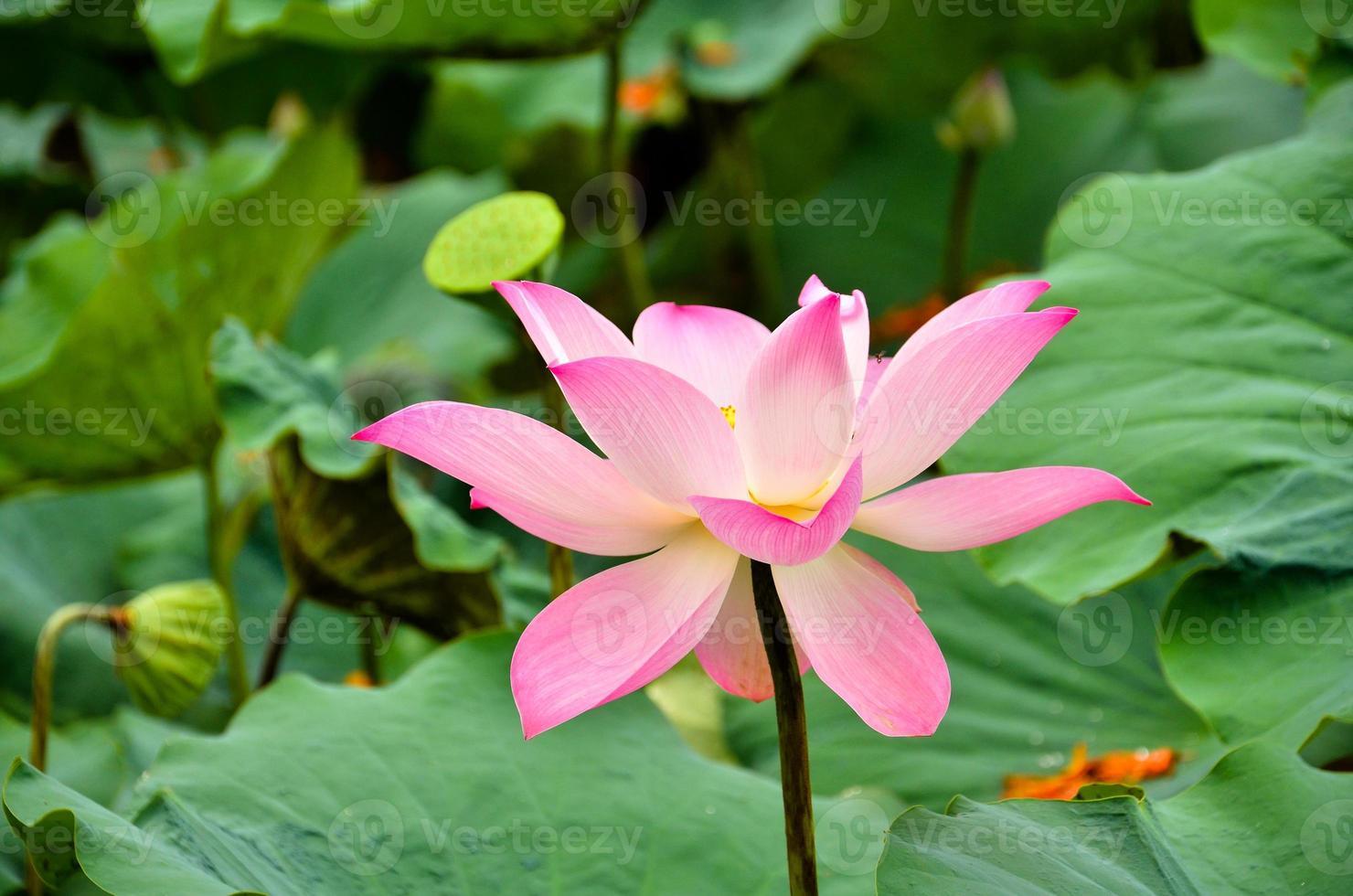 blühende Lotusblume über grünem Hintergrund foto