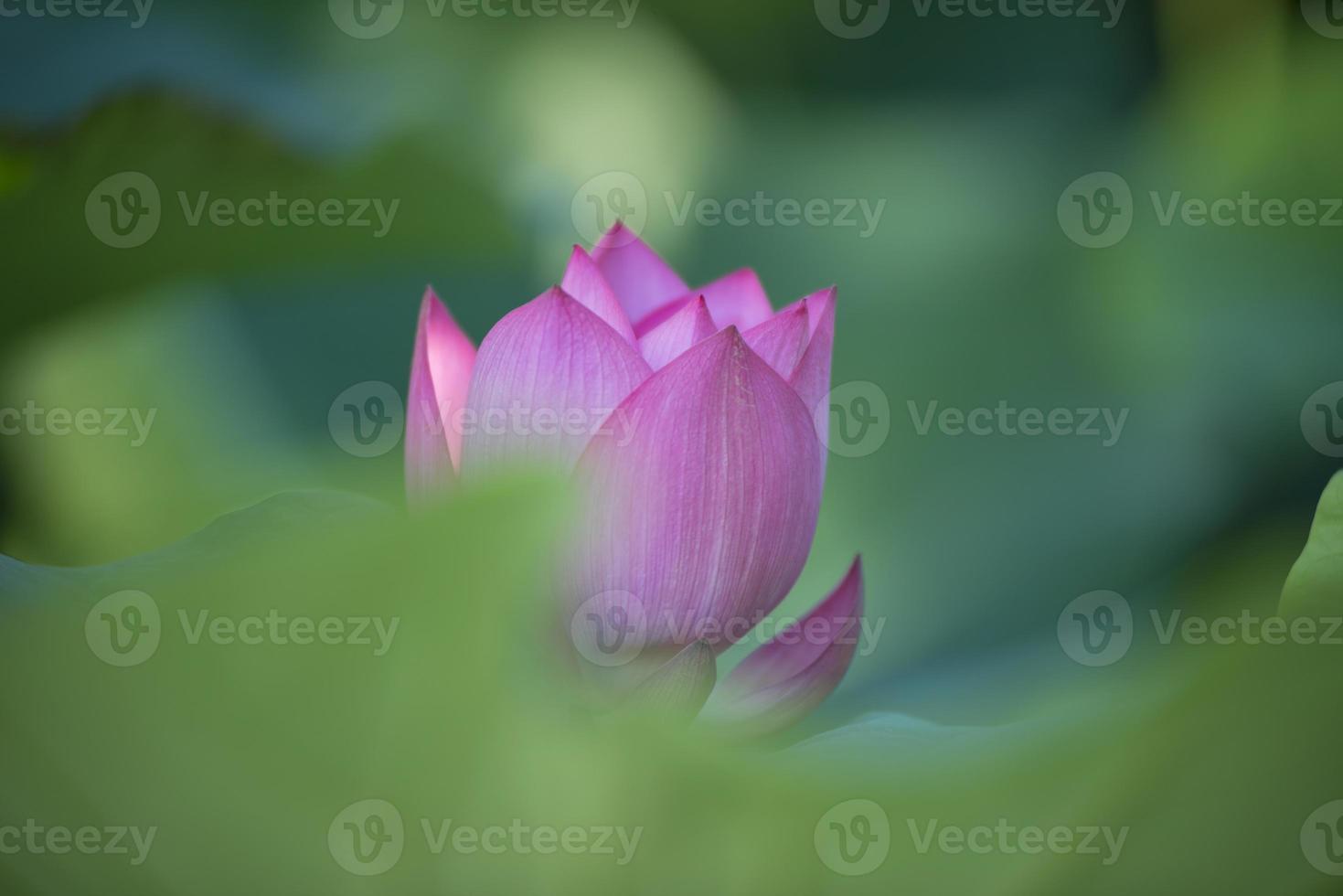 abstrakter Hintergrund des rosa Lotus foto