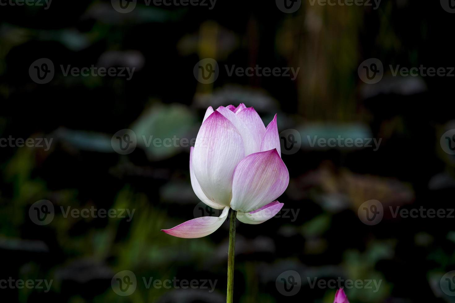 , schöne rosa Lotusblumen blühen foto