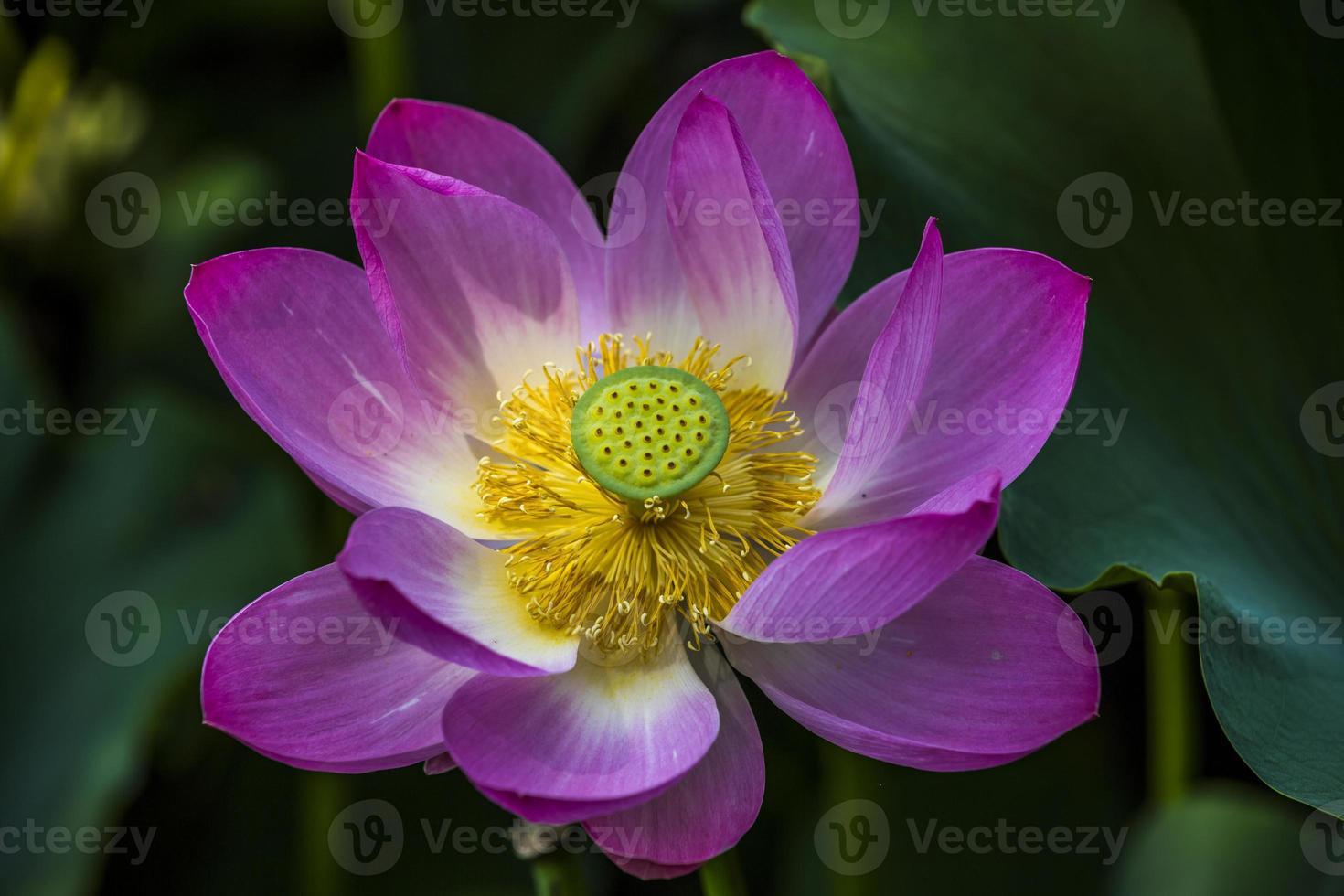 der Lotus und das Lotusblatt foto