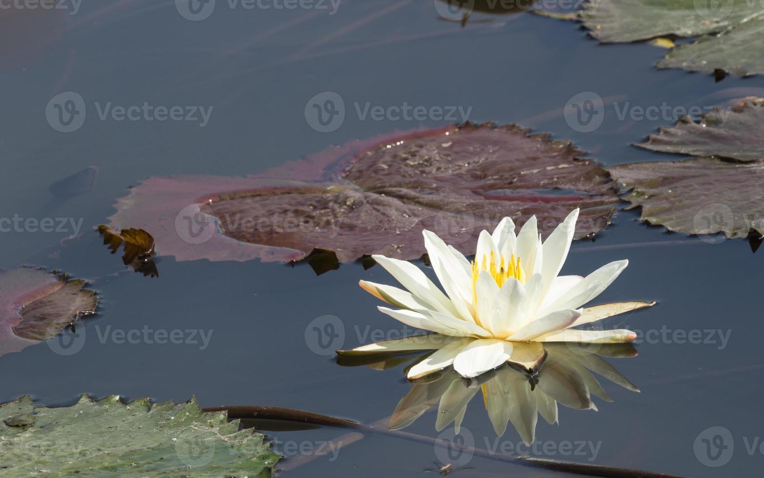 weißer Lotus mit der Refektion foto