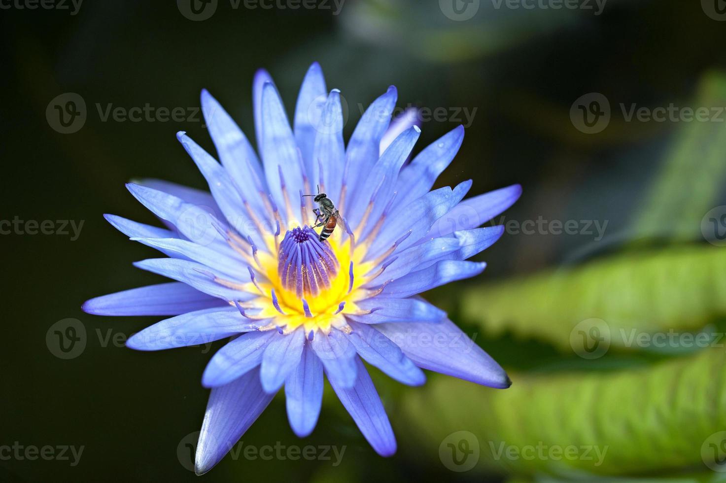 blauer Lotus foto