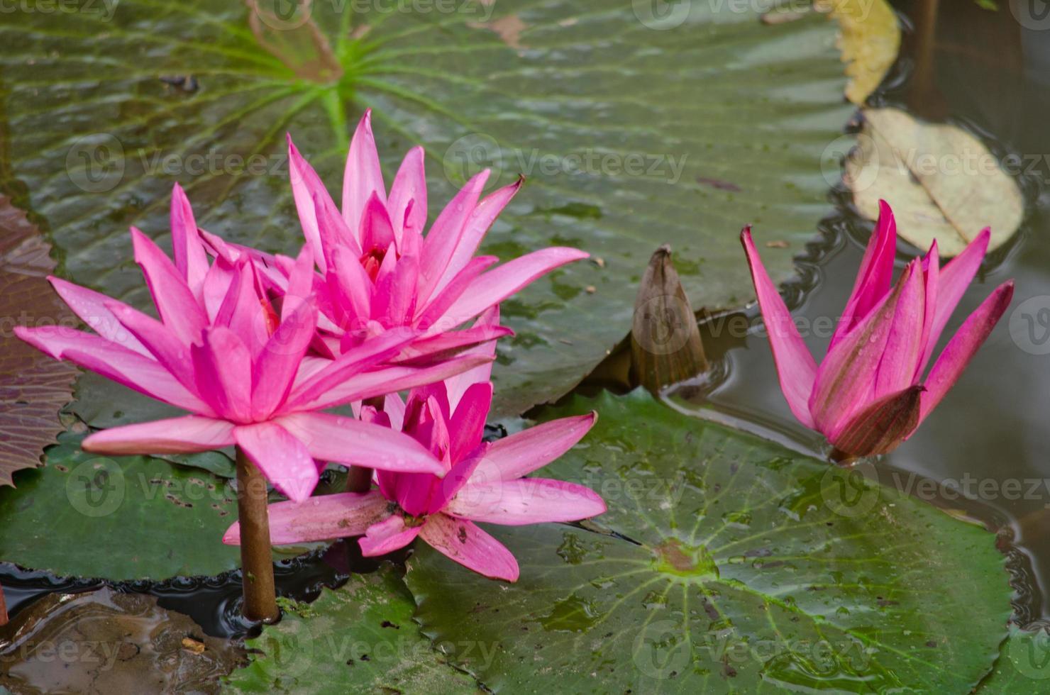 schöner Lotus im Teich foto