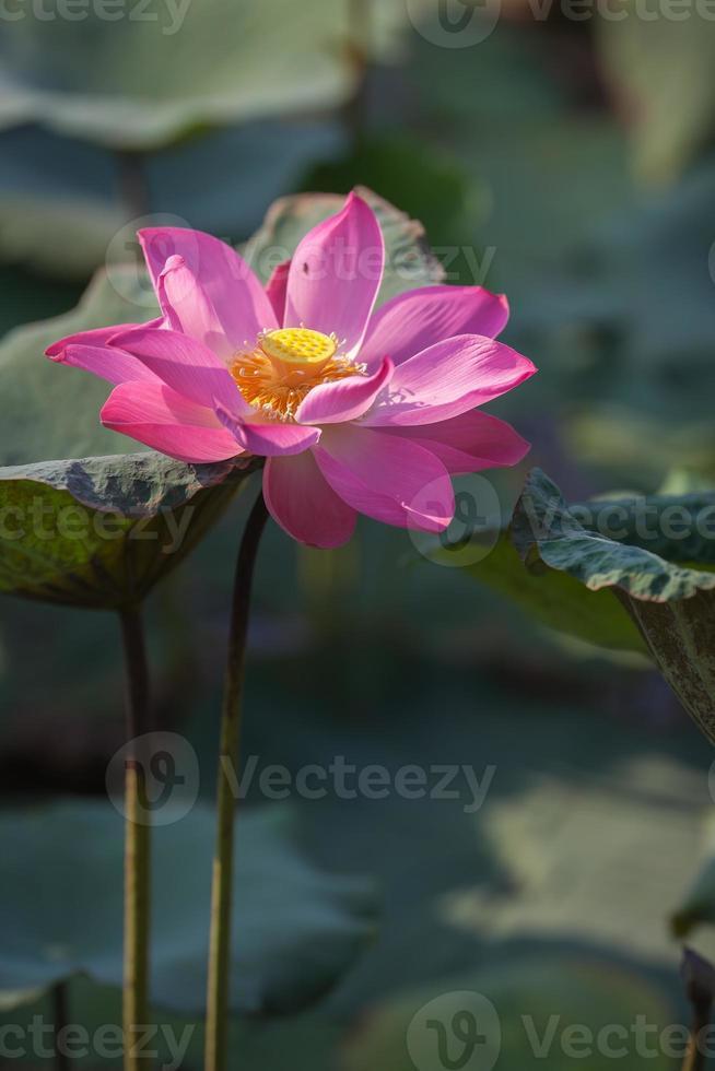 schöne Lotusblume (hoa sen) in voller Blüte foto