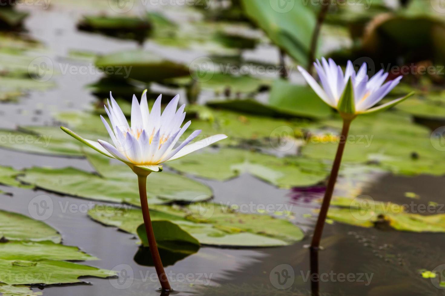 schöne zwei Lotusblume im Teich foto