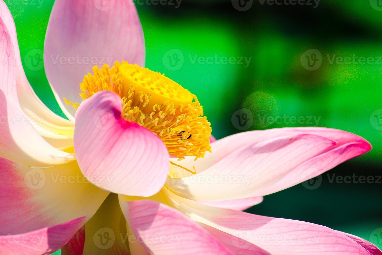Makro Nahaufnahme schöne Lotusblüten oder Seerosenblumen wi foto