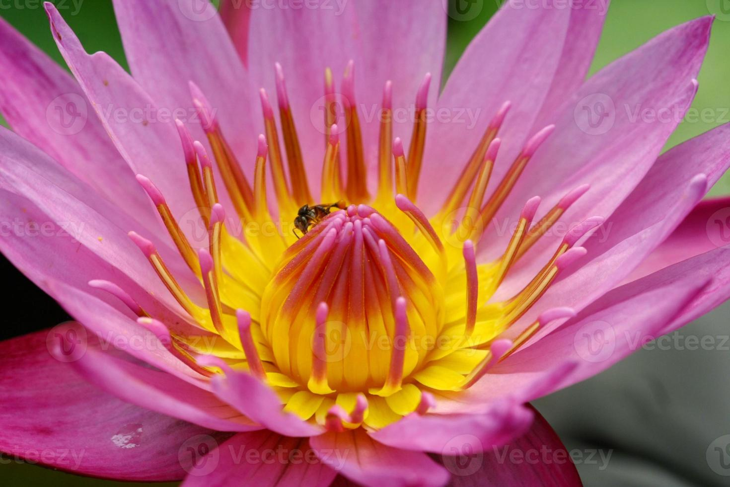 schöne rosa Seerose oder Lotusblume im Teich foto