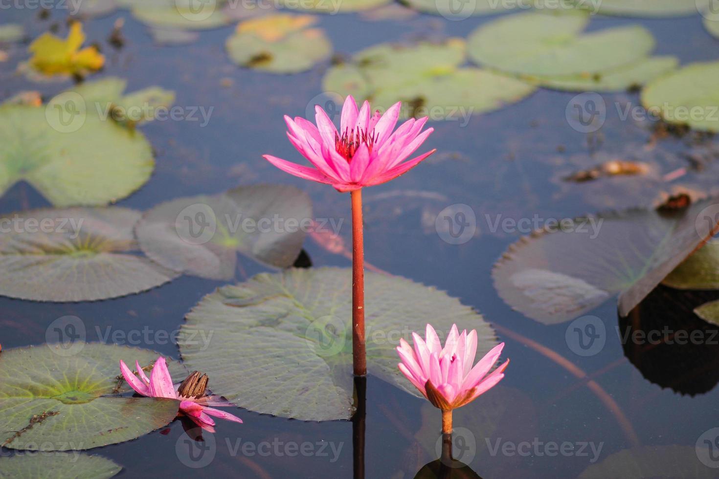 roter Lotus im Teich bei Kumphawapi, Udonthani, Thailand foto