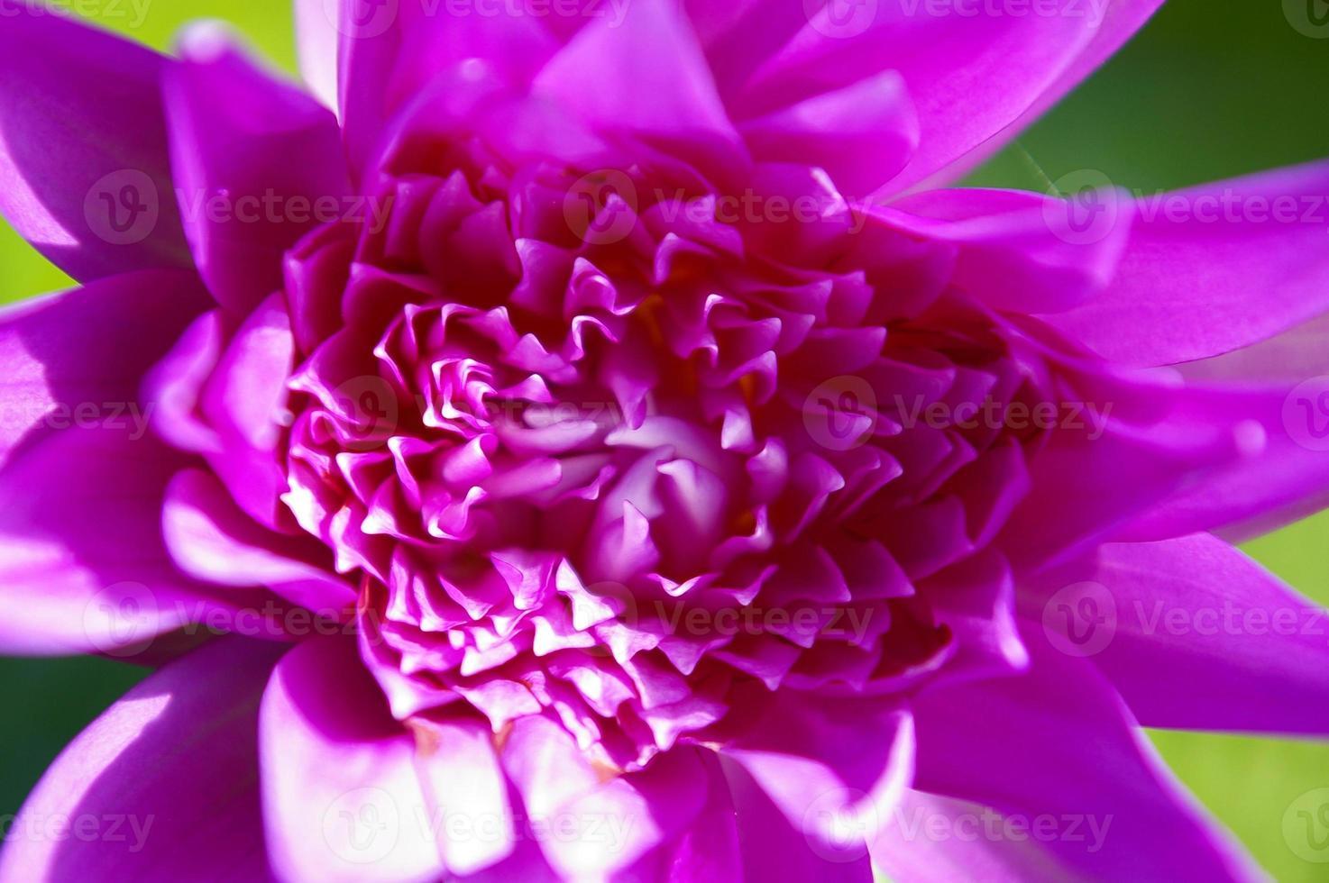 schöne rosa Lotus- oder Seerosenblumen, die auf Teich blühen foto