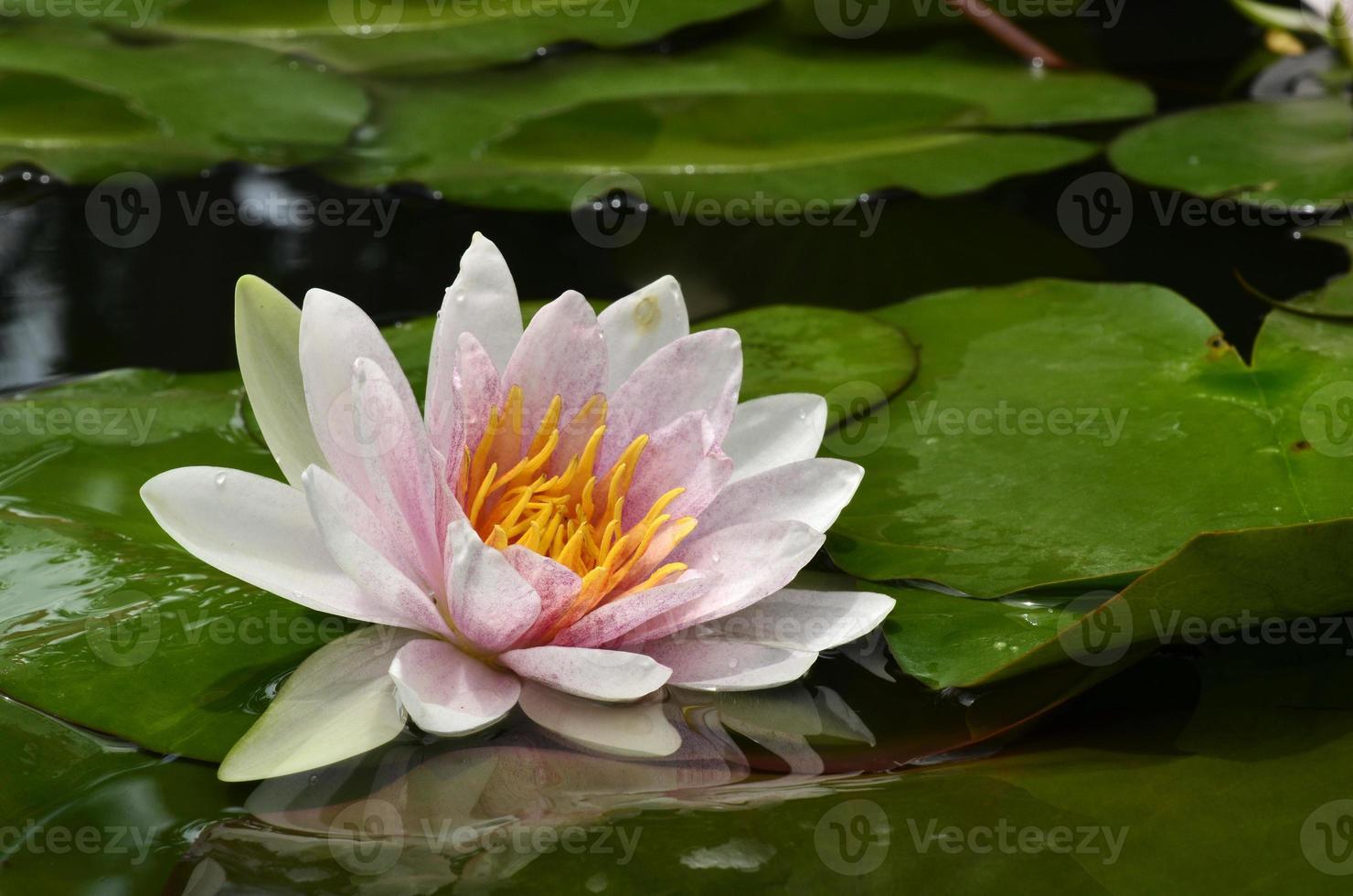 Lotusblume dem Licht ausgesetzt mit grünen Blättern umgeben foto