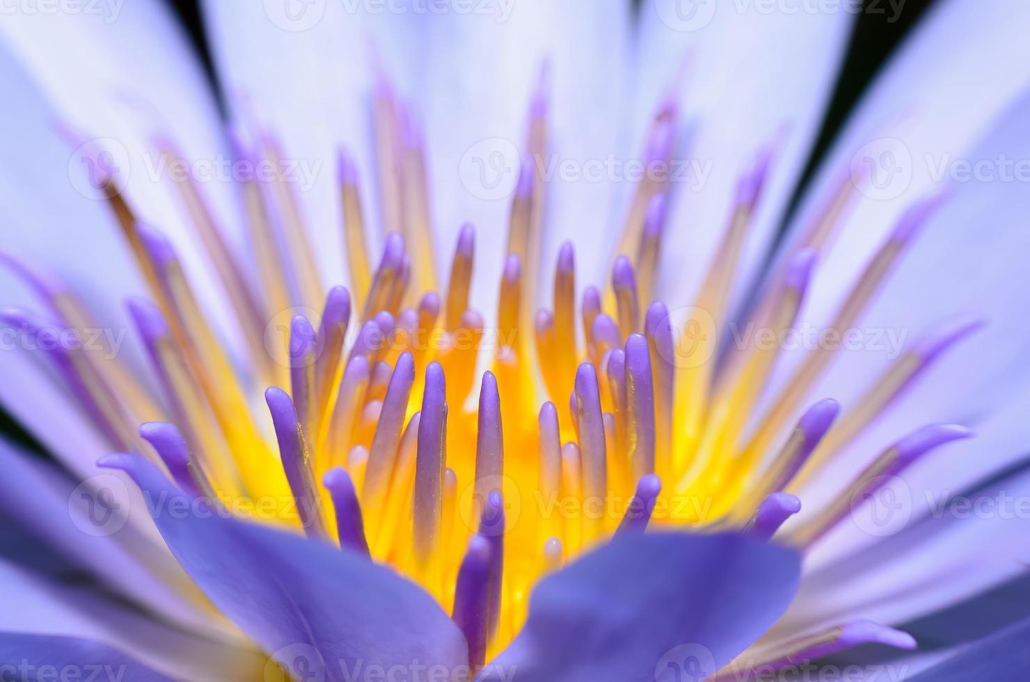 Nahaufnahme Lotusblume foto