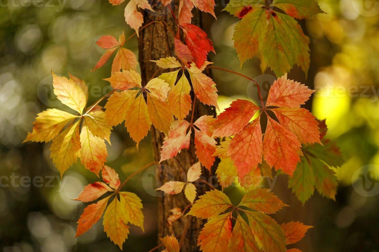 Herbst Efeu foto