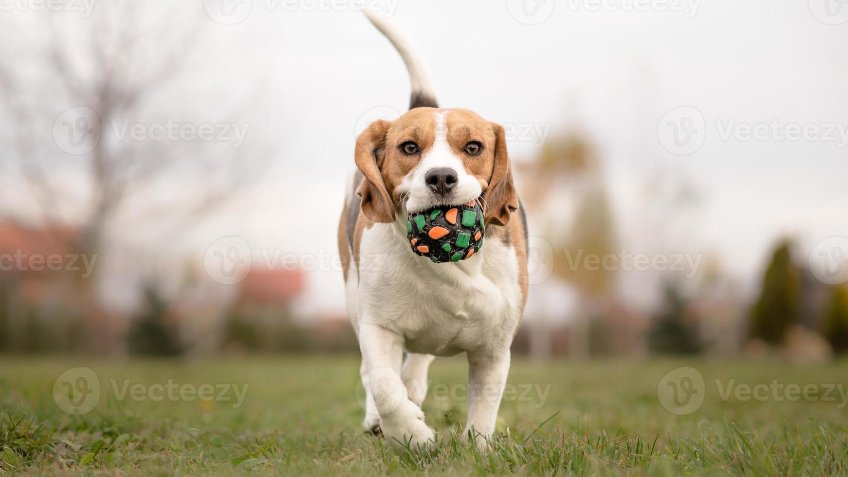 Bringen Sie Ihrem Hund bei, Fetch - Beagle zu spielen foto