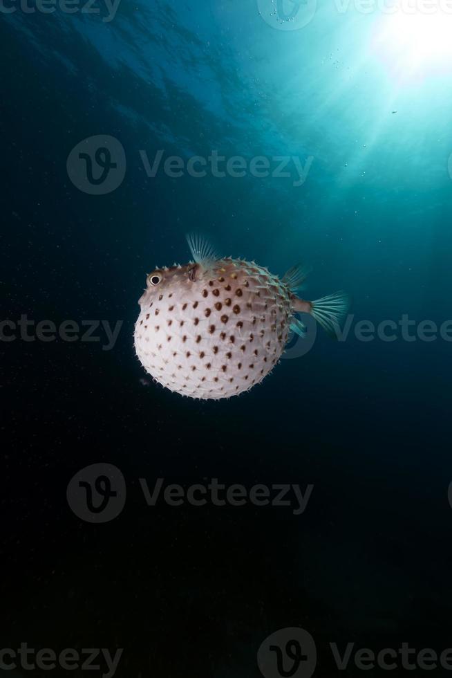 Gelbfleckiger Gratfisch mit seinem Abwehrsystem. foto