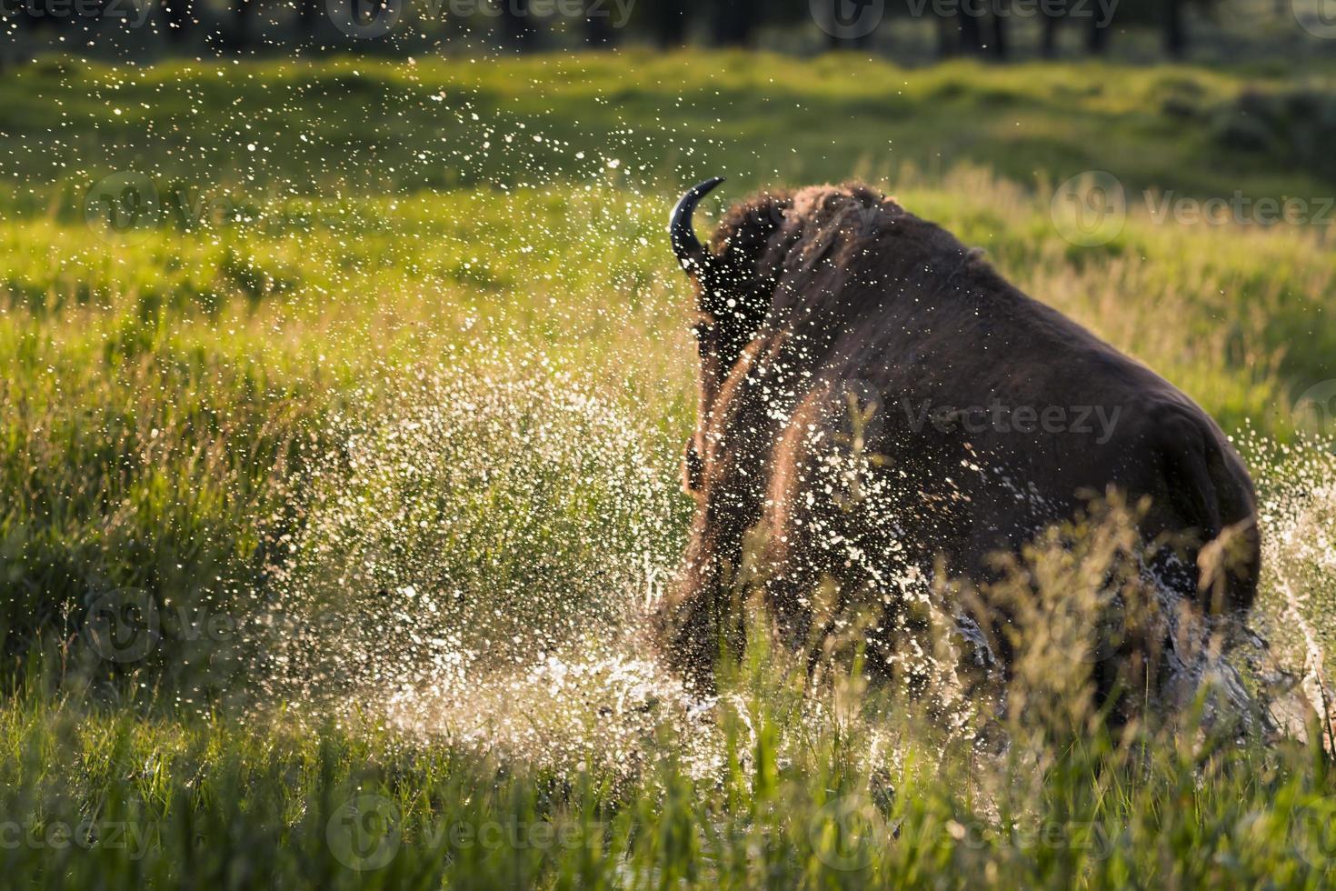 Büffel stürmt durch einen Bach foto