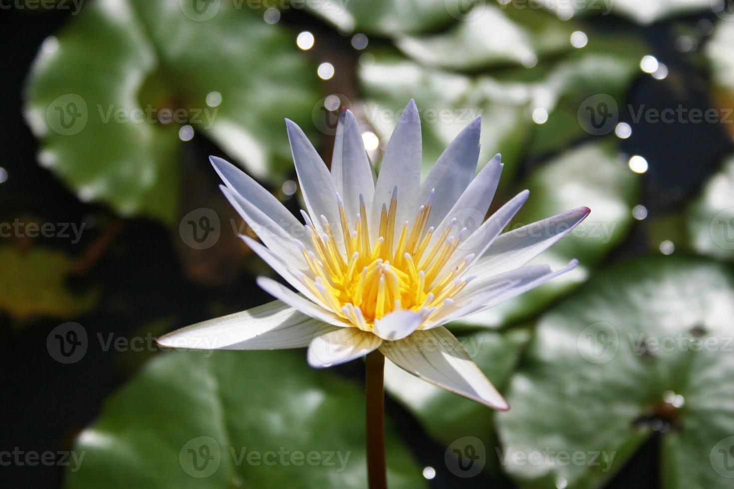 Seerosenblatt Kauai Blume foto