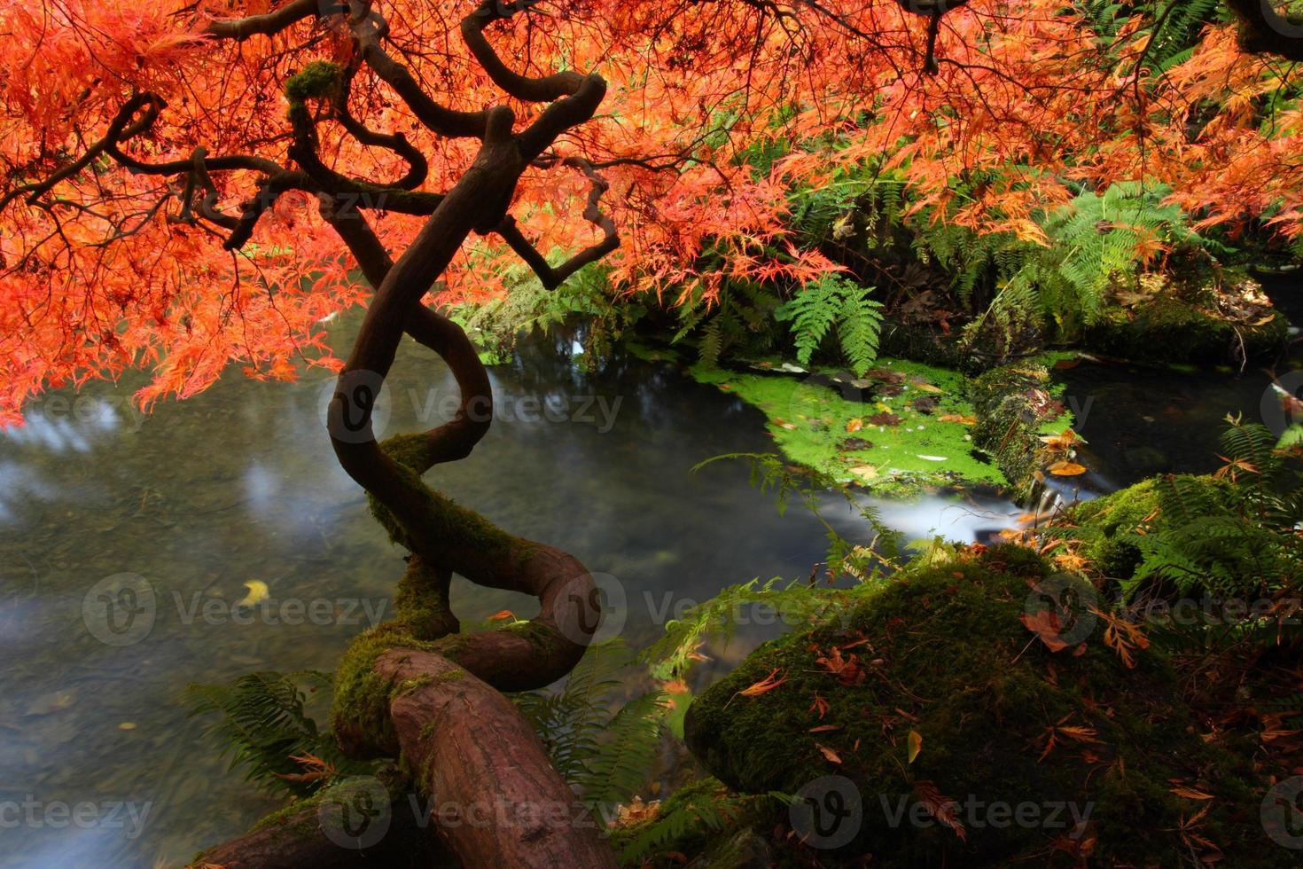 japanischer Ahorn foto