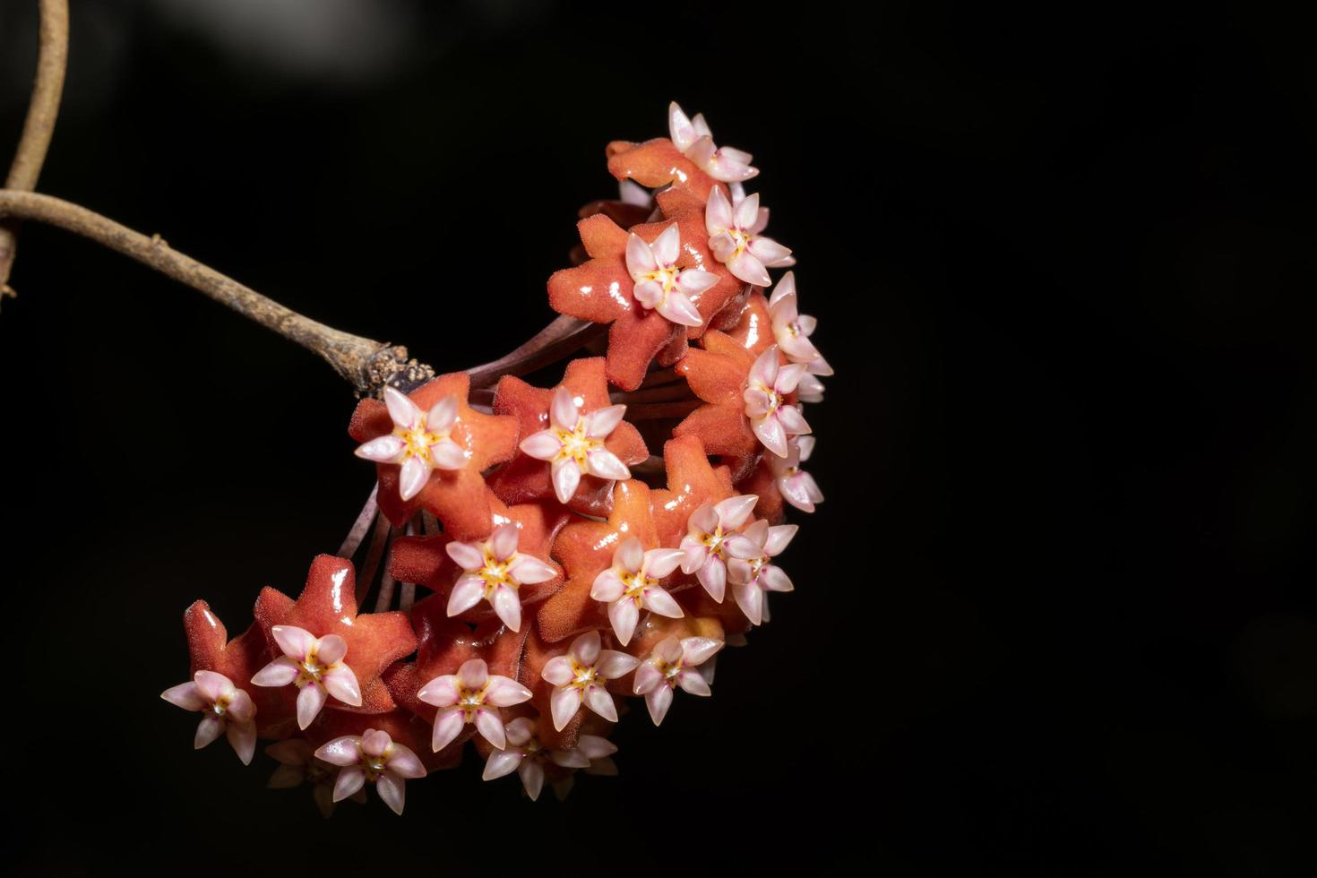 rote Hoya-Blumen-Nahaufnahme foto