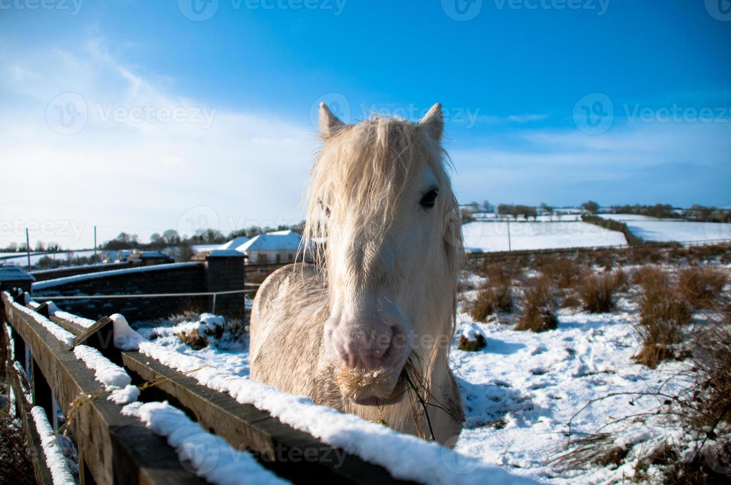 weißes Pferd foto