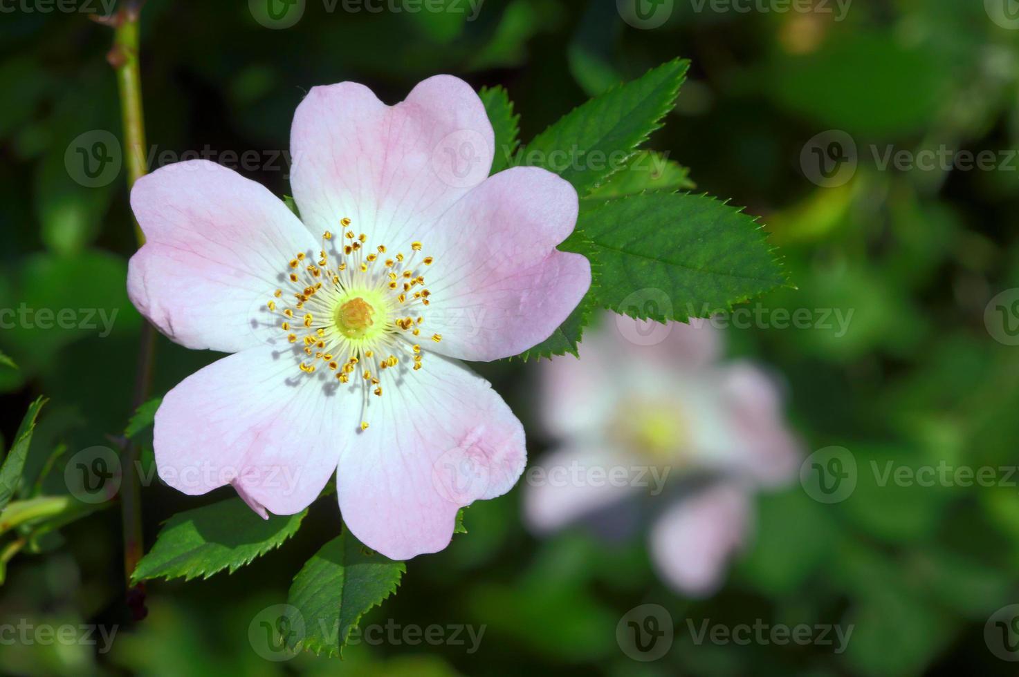 Blumenrose gewellt foto