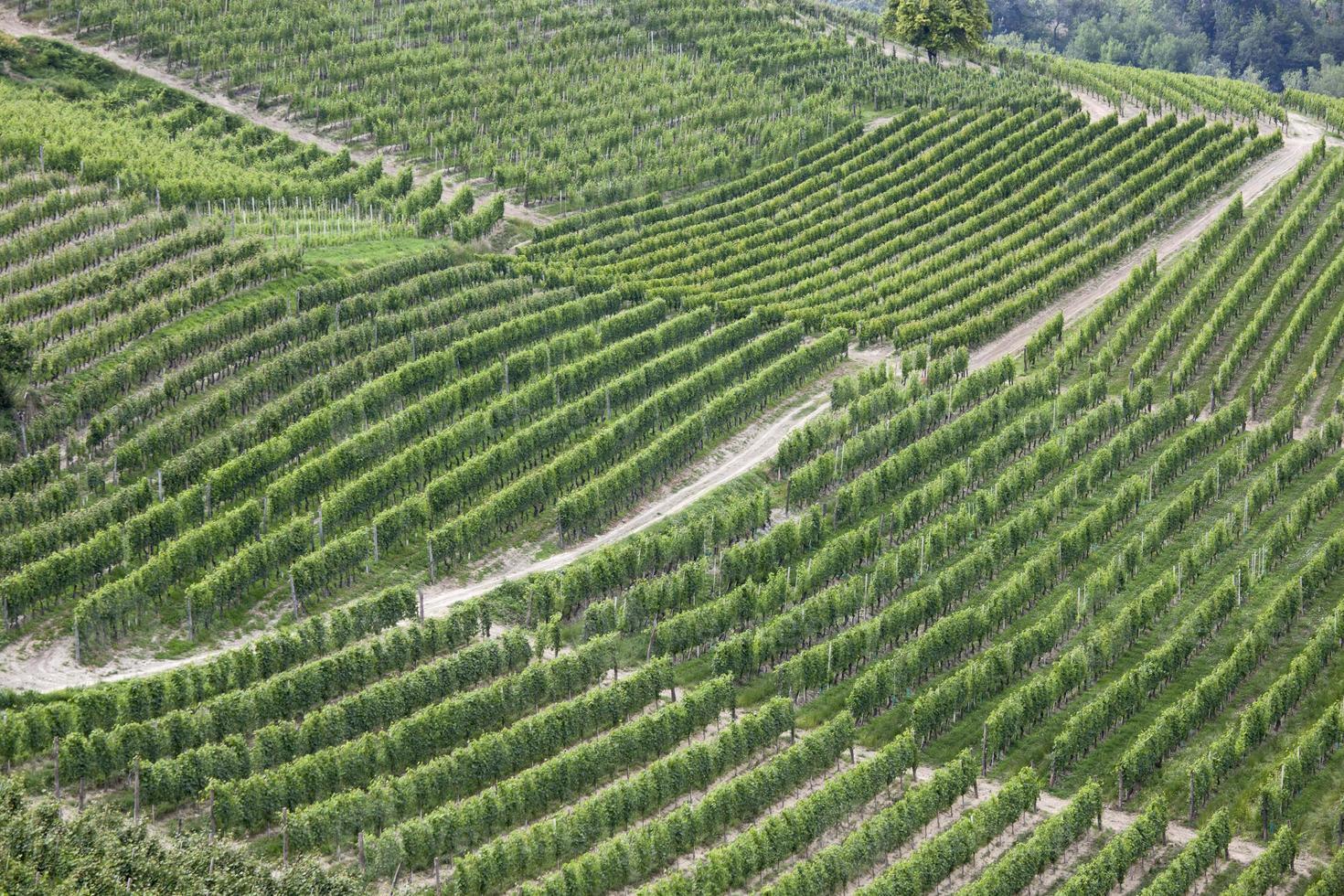Weinberge in Italien foto
