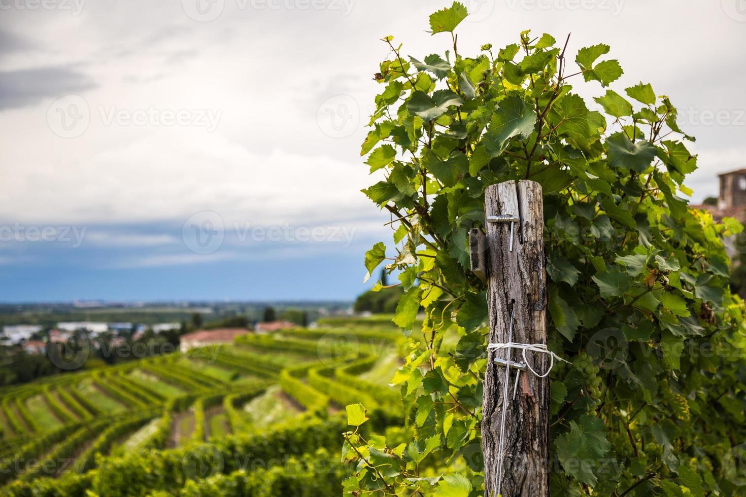 Weinrebefeld in der italienischen Landschaft foto